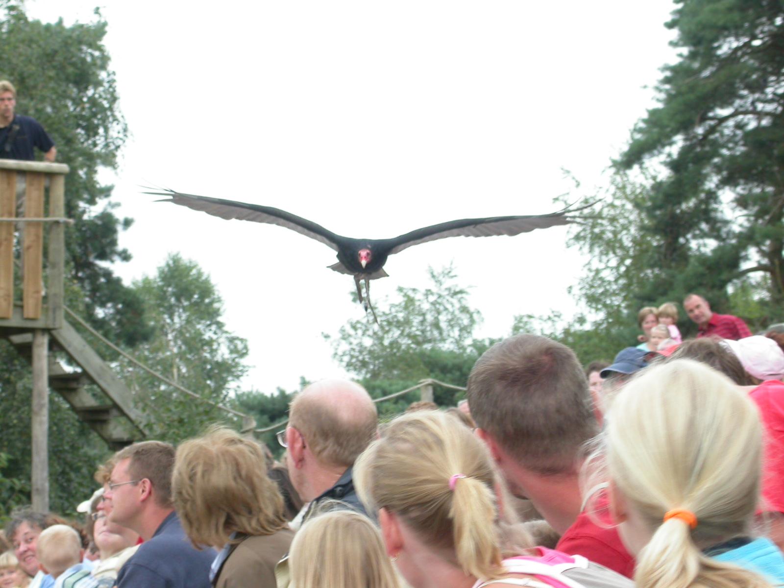 eva vulture bird of prey fly over
