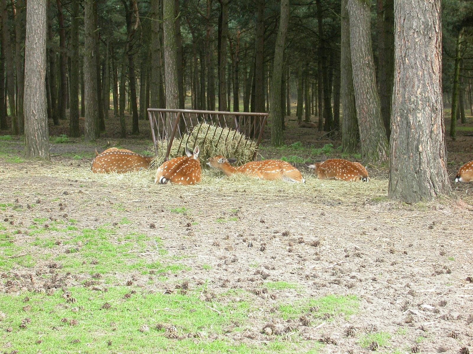 eva deer feeding resting forest