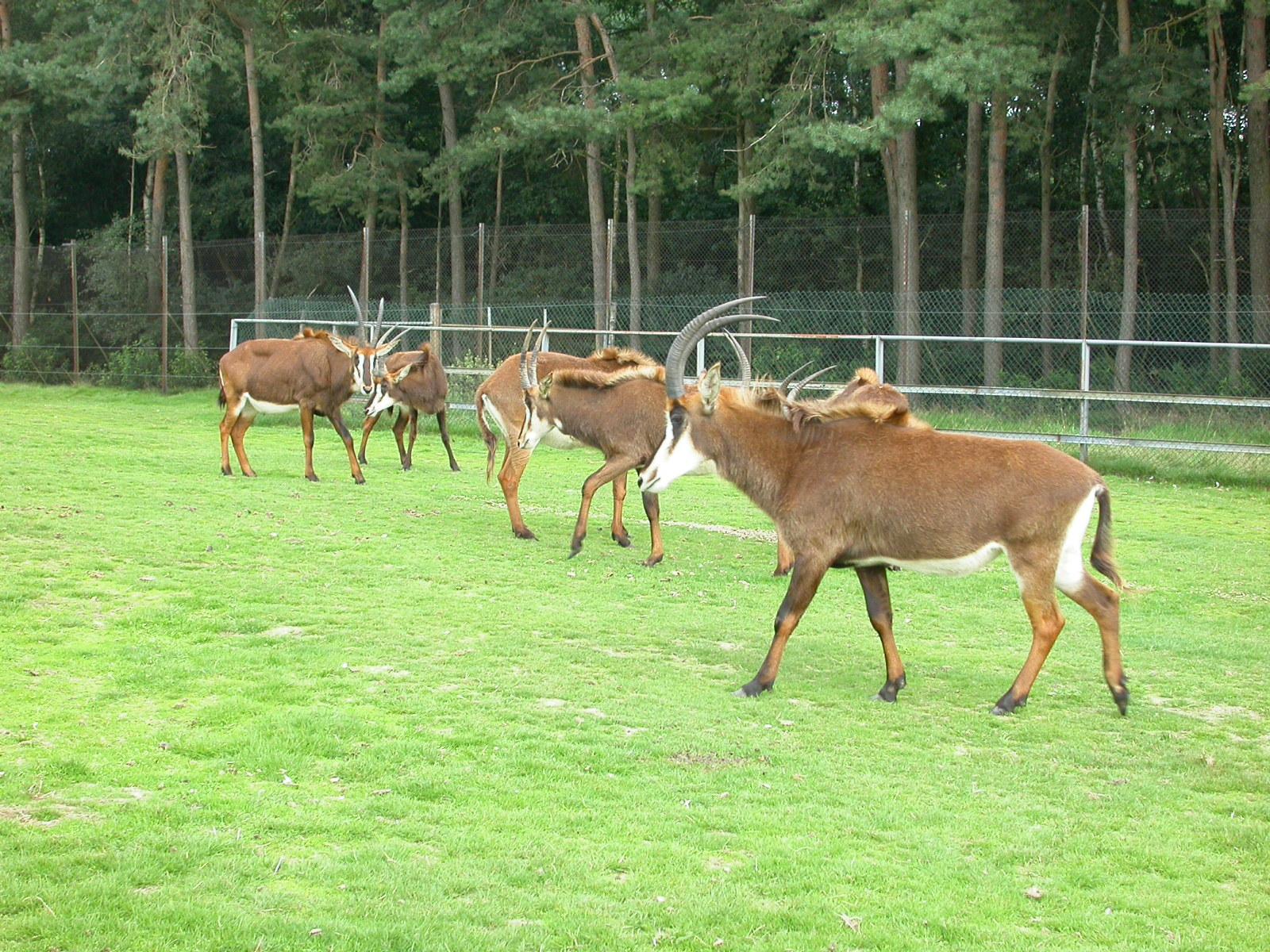 eva sort of deers interlopes horns