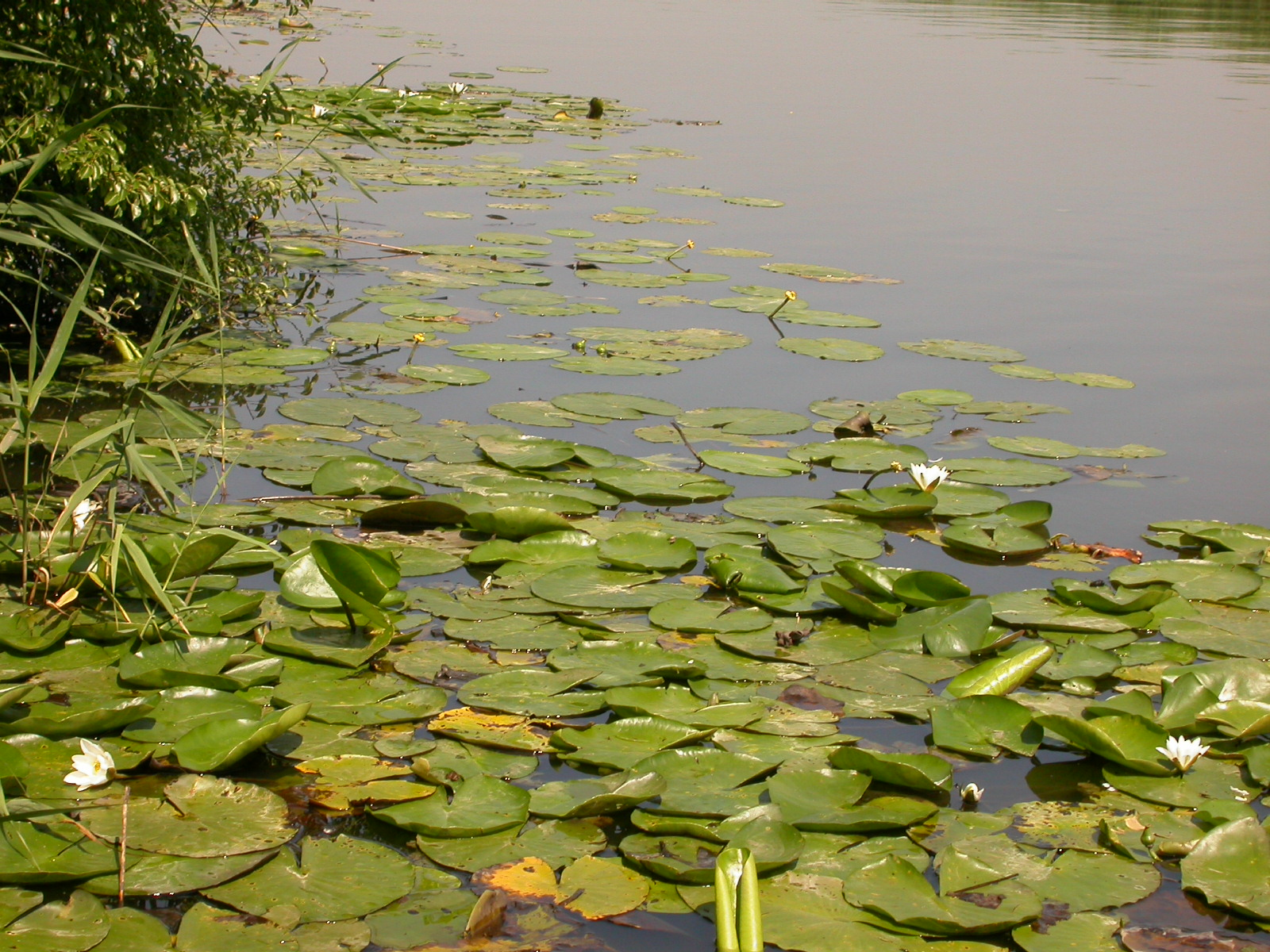 eva pond water lilies lily