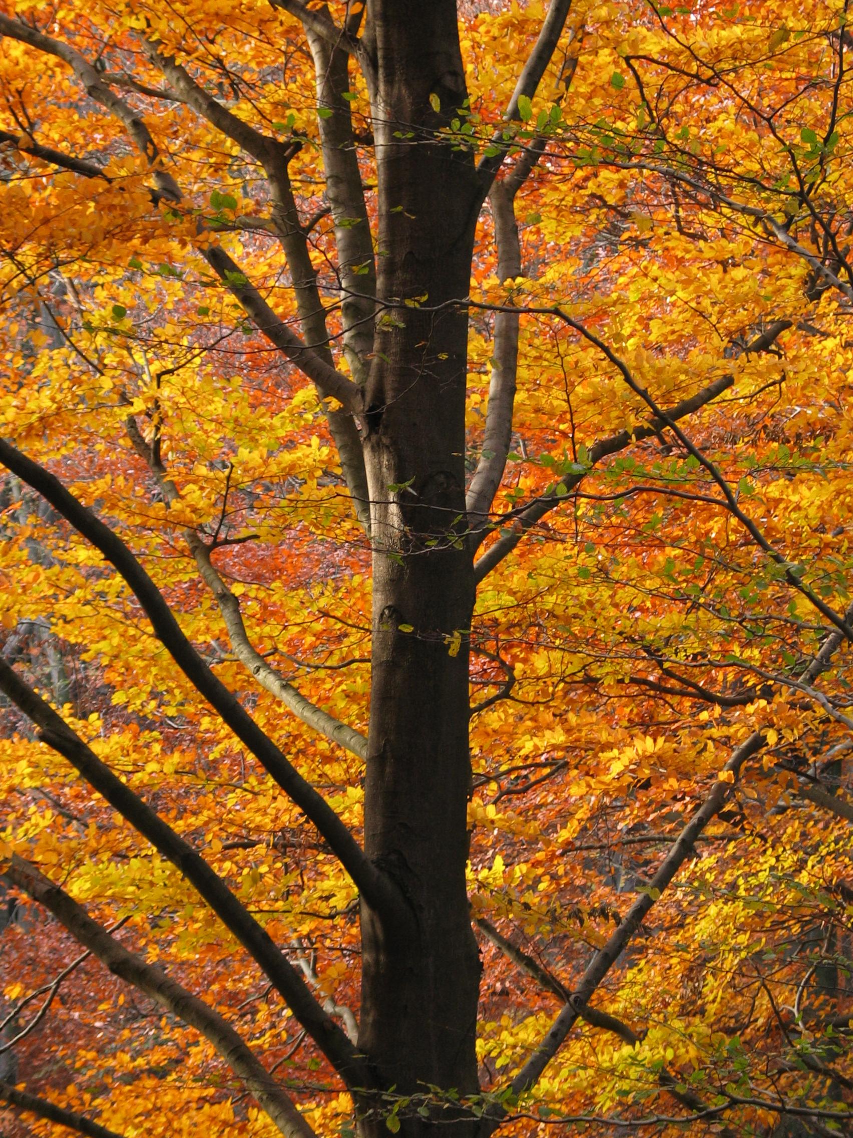 geoff_vane autumn tree red leaves