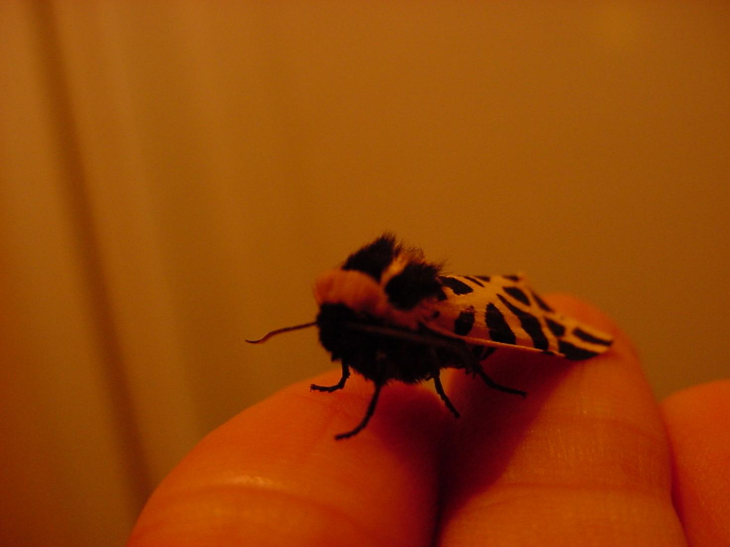 insektokutor moth brown wings fur hair spots black