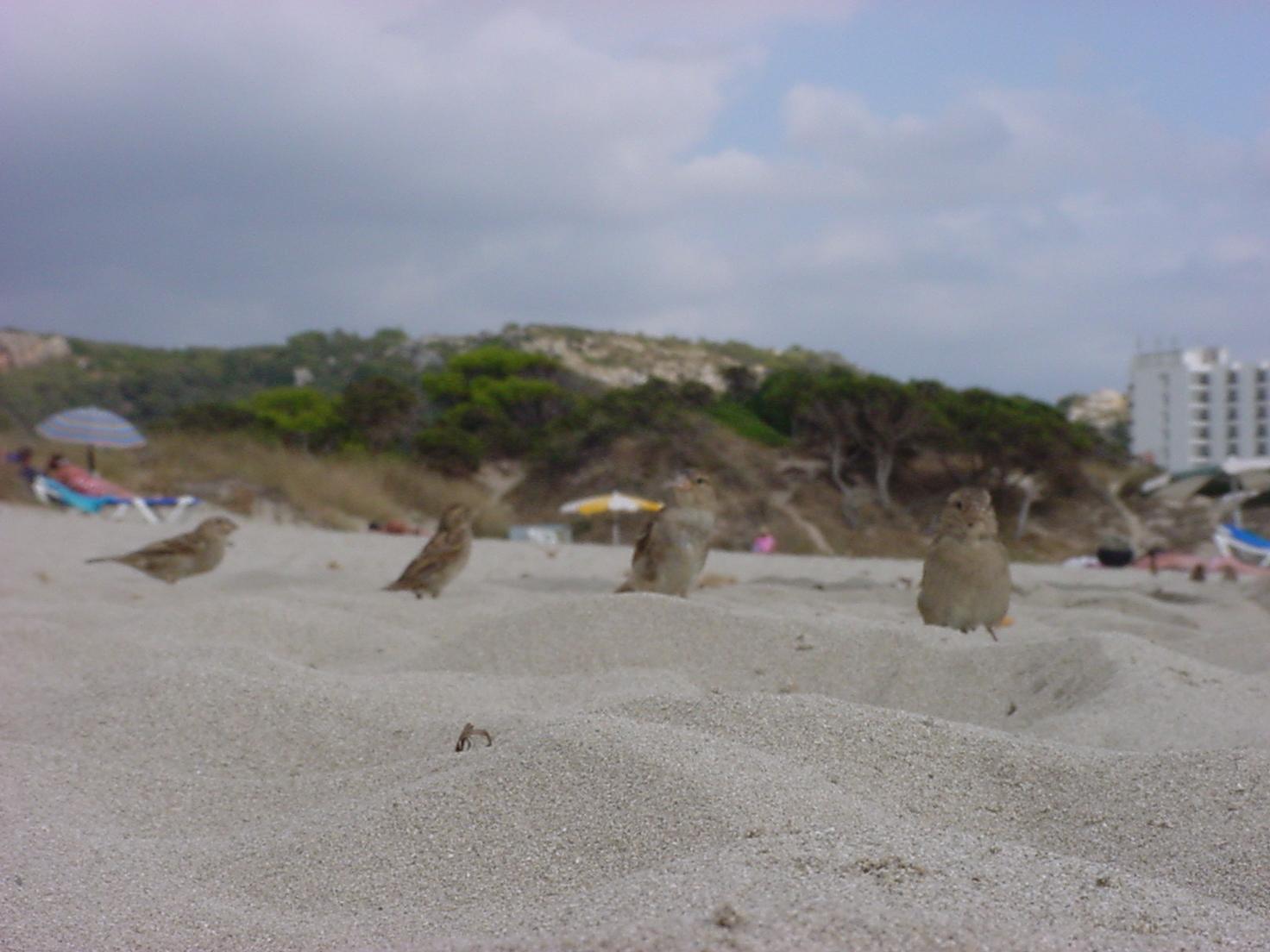 insektokutor four little birds on the beach fluffy bird