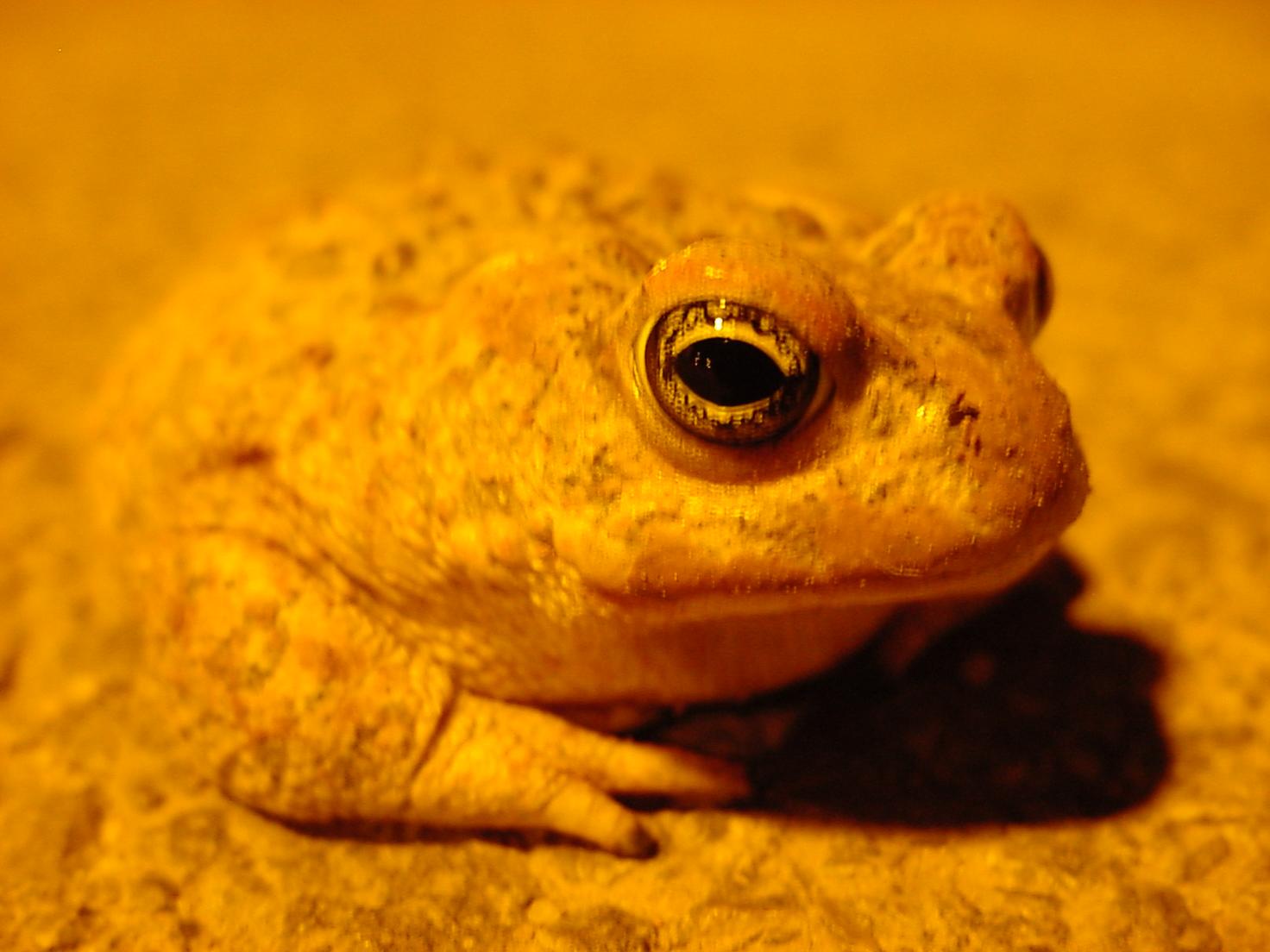 insektokutor little frog toad yellow amphibian