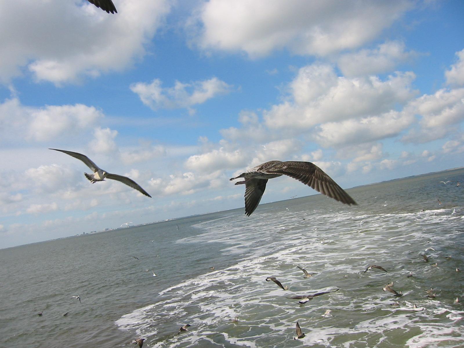 jaap birds seagulls flying sea ocean blue sky