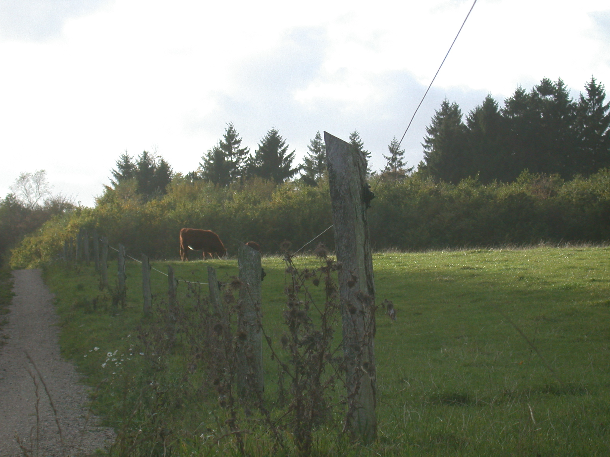 janneke field cow grazing summer warm fence countryside country