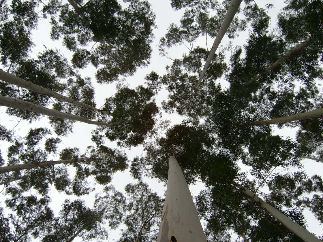 kartien trees high trunks