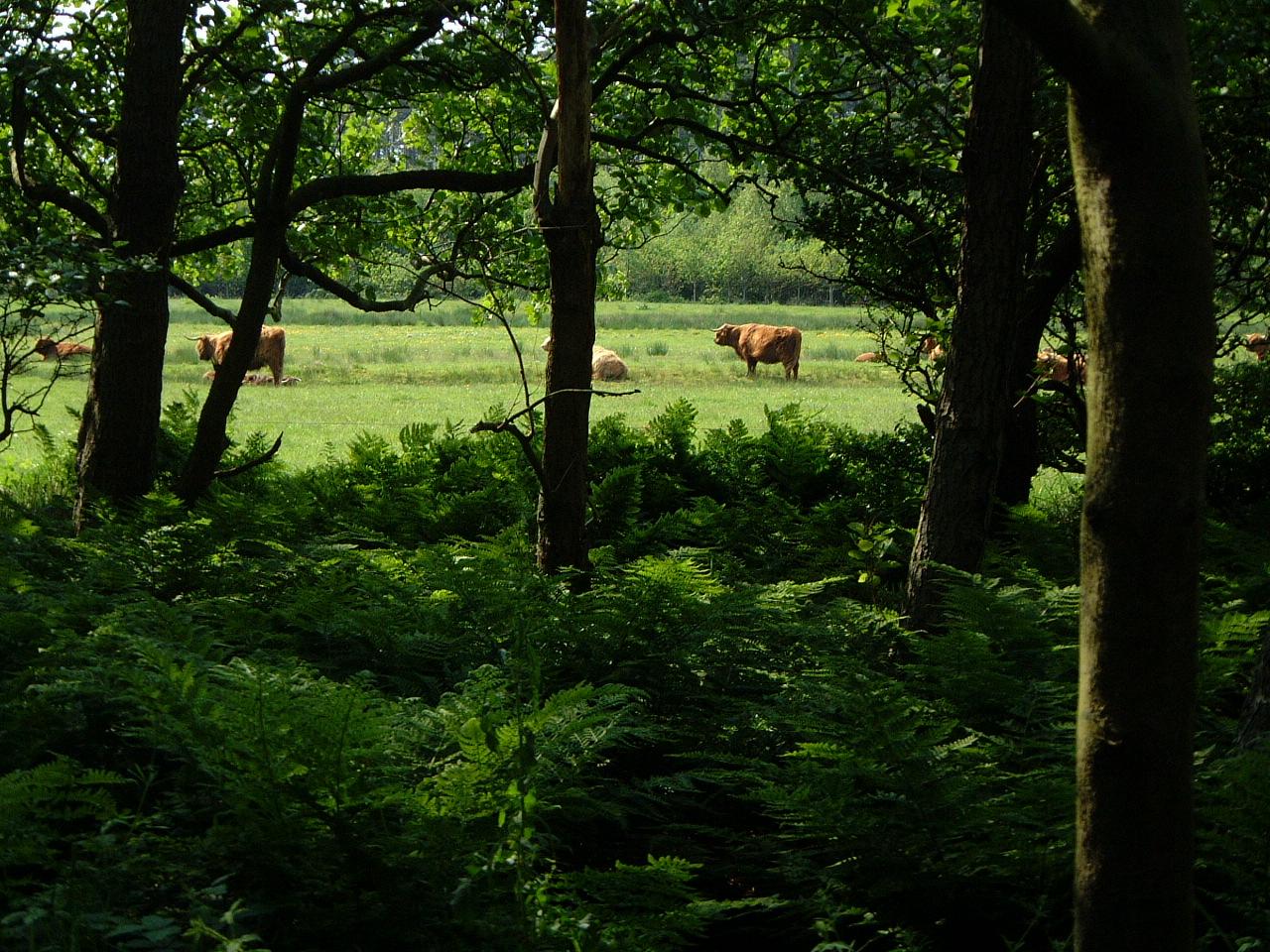 cows in meadow field trees green maartent