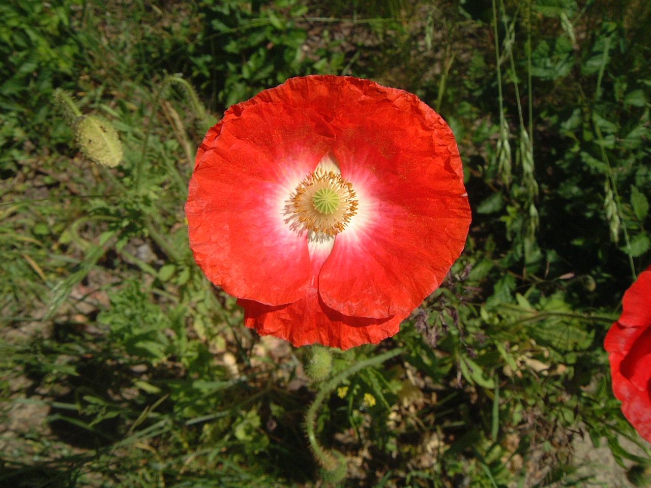 maartent poppy red round flower blooming