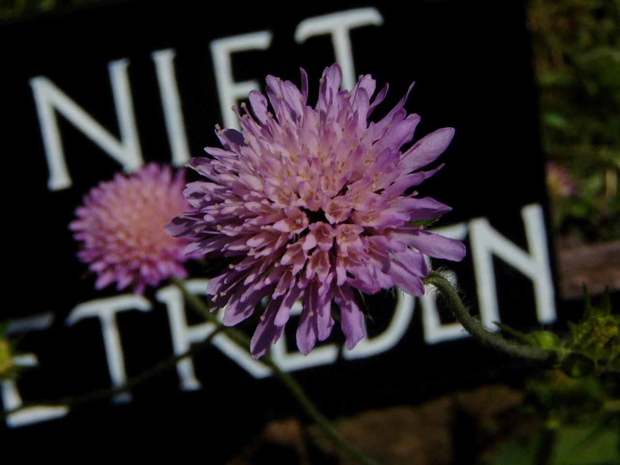 nature plants flower pink maartent niet betreden