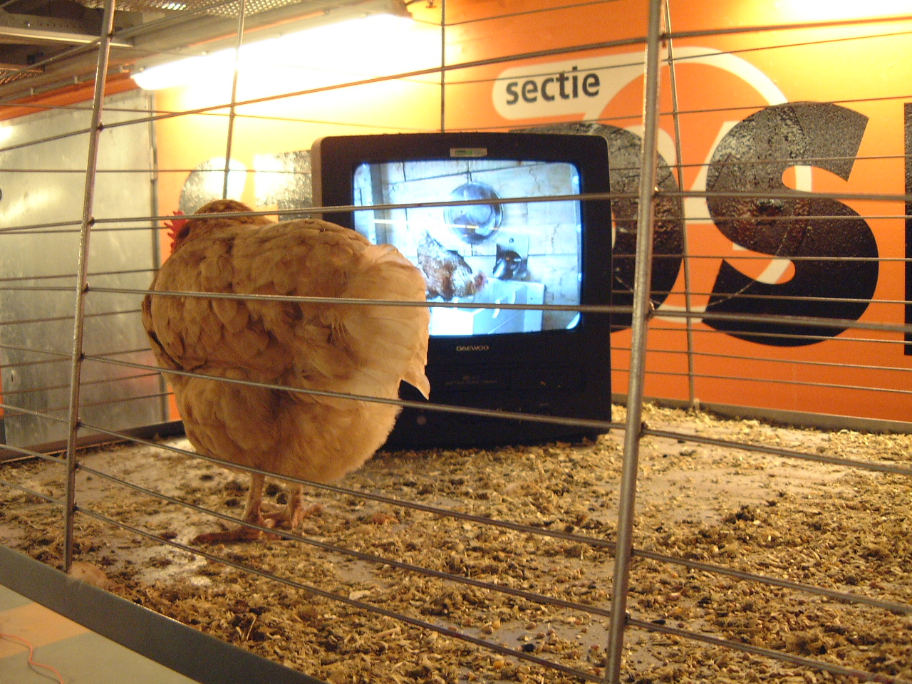 maartent chicken in a cage watching television. (hatching television?)