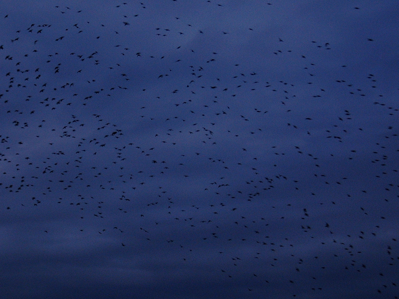 maartent swarm of birds flock night