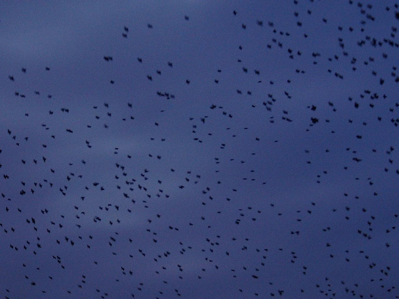 maartent flock of birds flying dark evening swarm