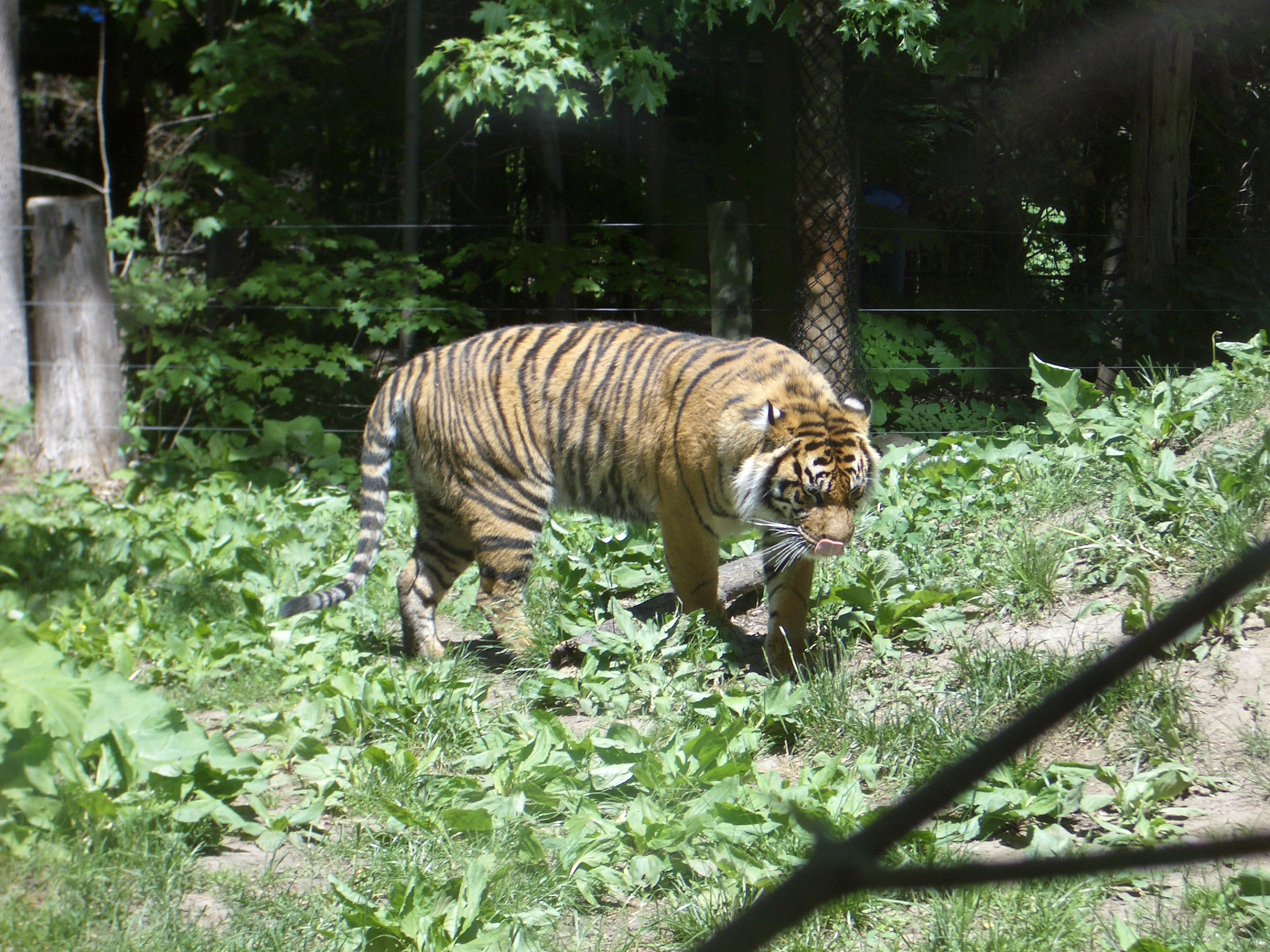 mattphilip tiger animal predator stripes big cat jungle