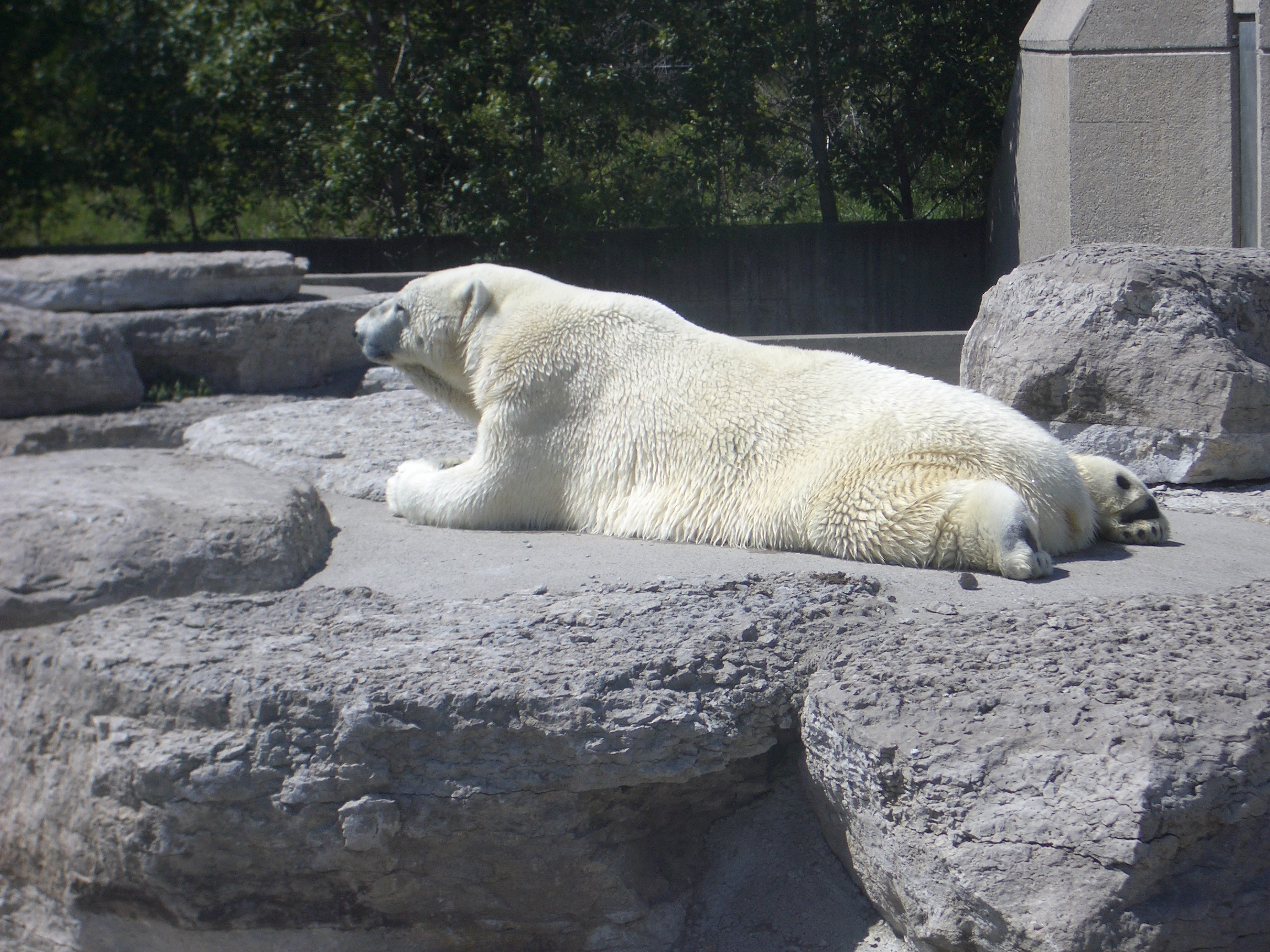 mattphilip bear polar polarbear white fur zoo lounging