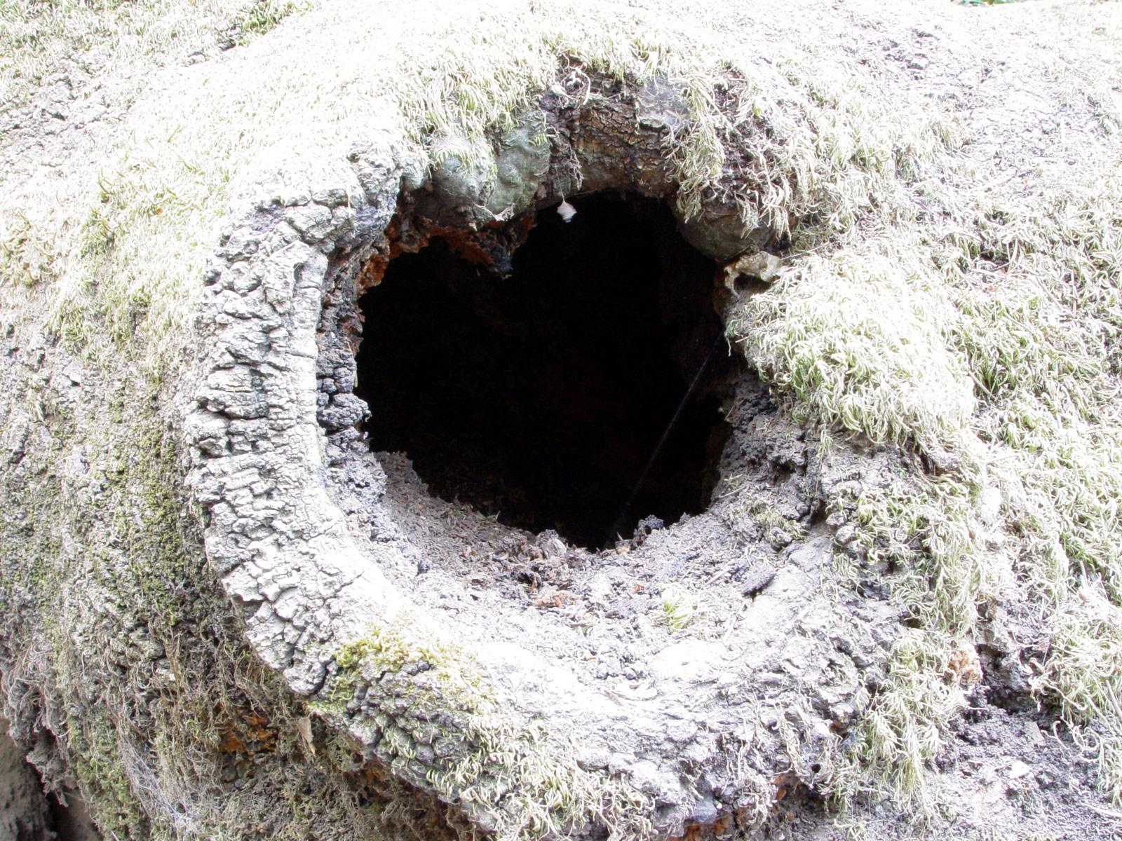nicolaswill hollow tree black hole trunk moss