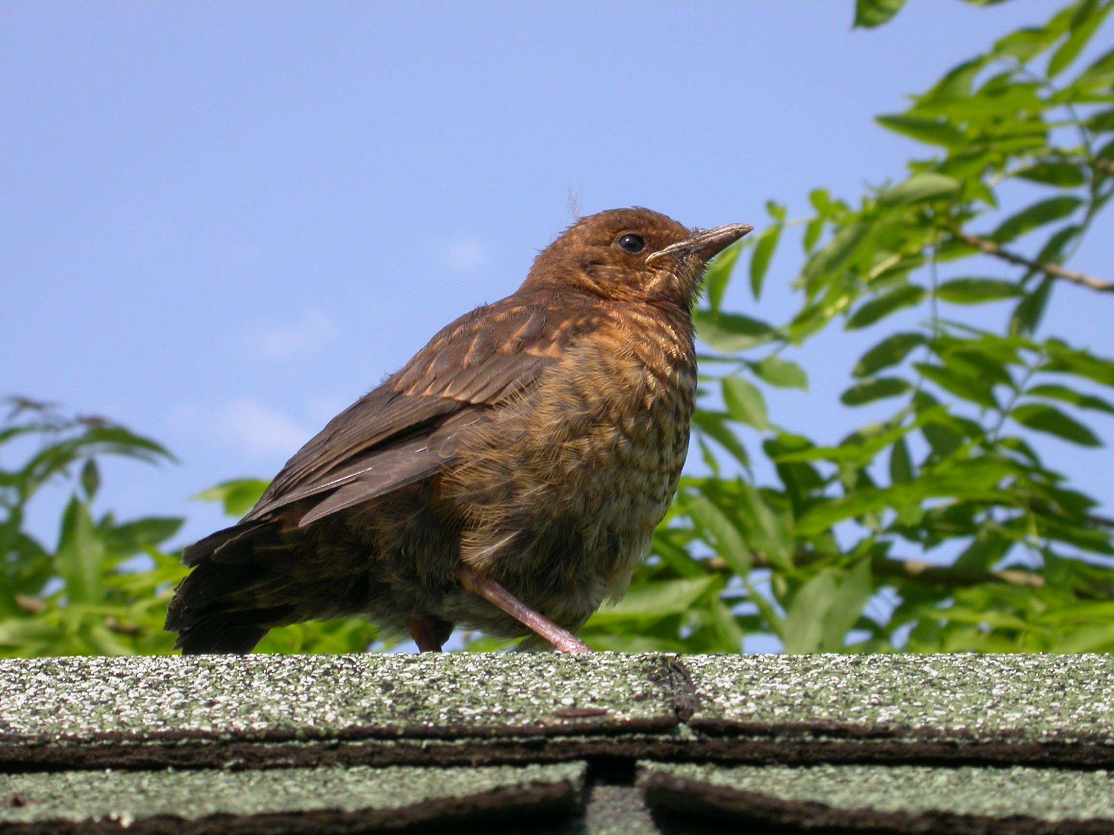 paul bird on roof feathers