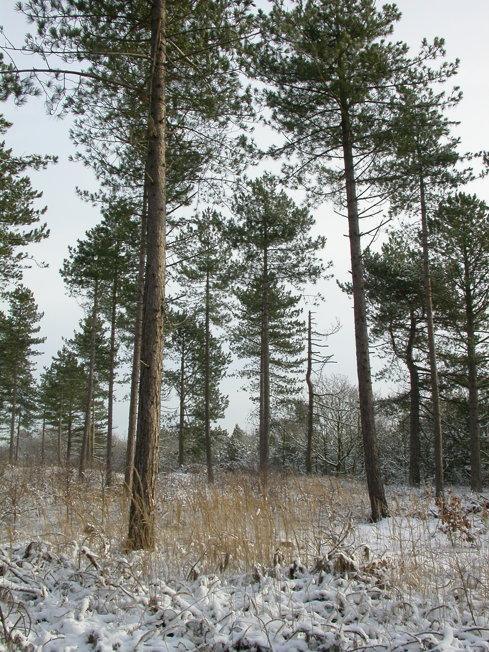 paul pine trees in the winter pines snow cold holland schoorl