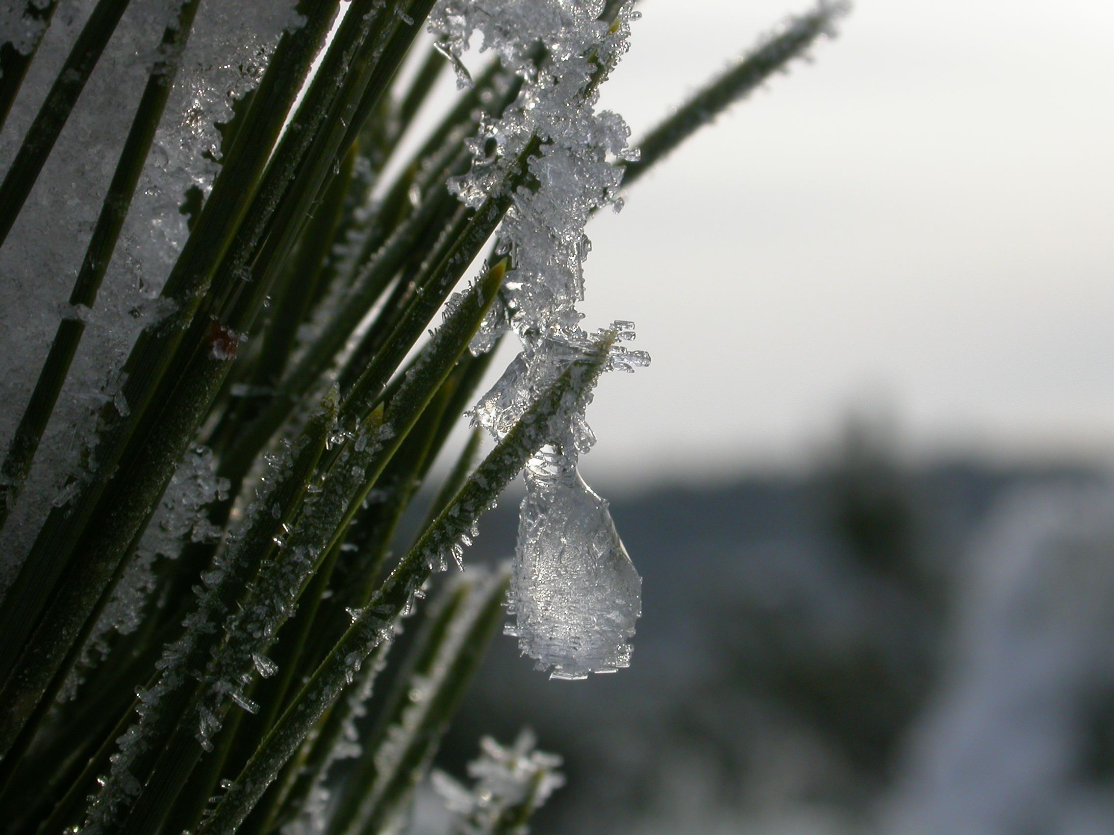 paul ice on fir needles needle cold Christmas winter frost