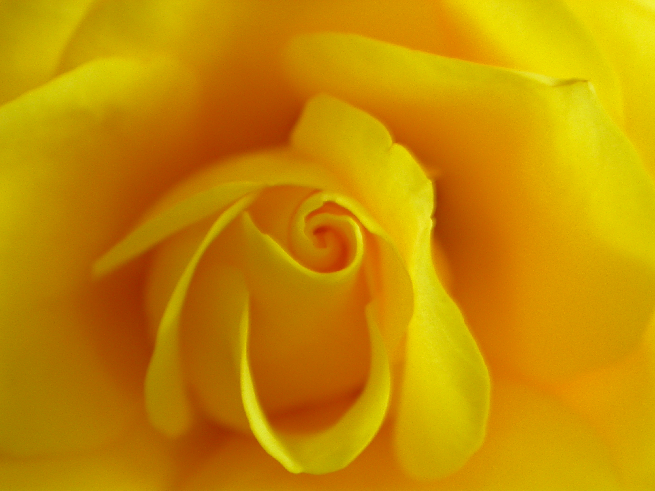 paul flower rose yellow of texas inner closeup warm romantic valentine