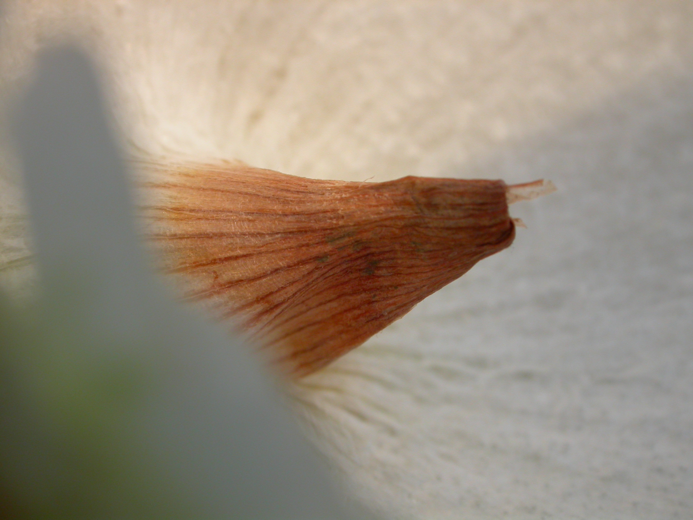 paul union white brown cone macro