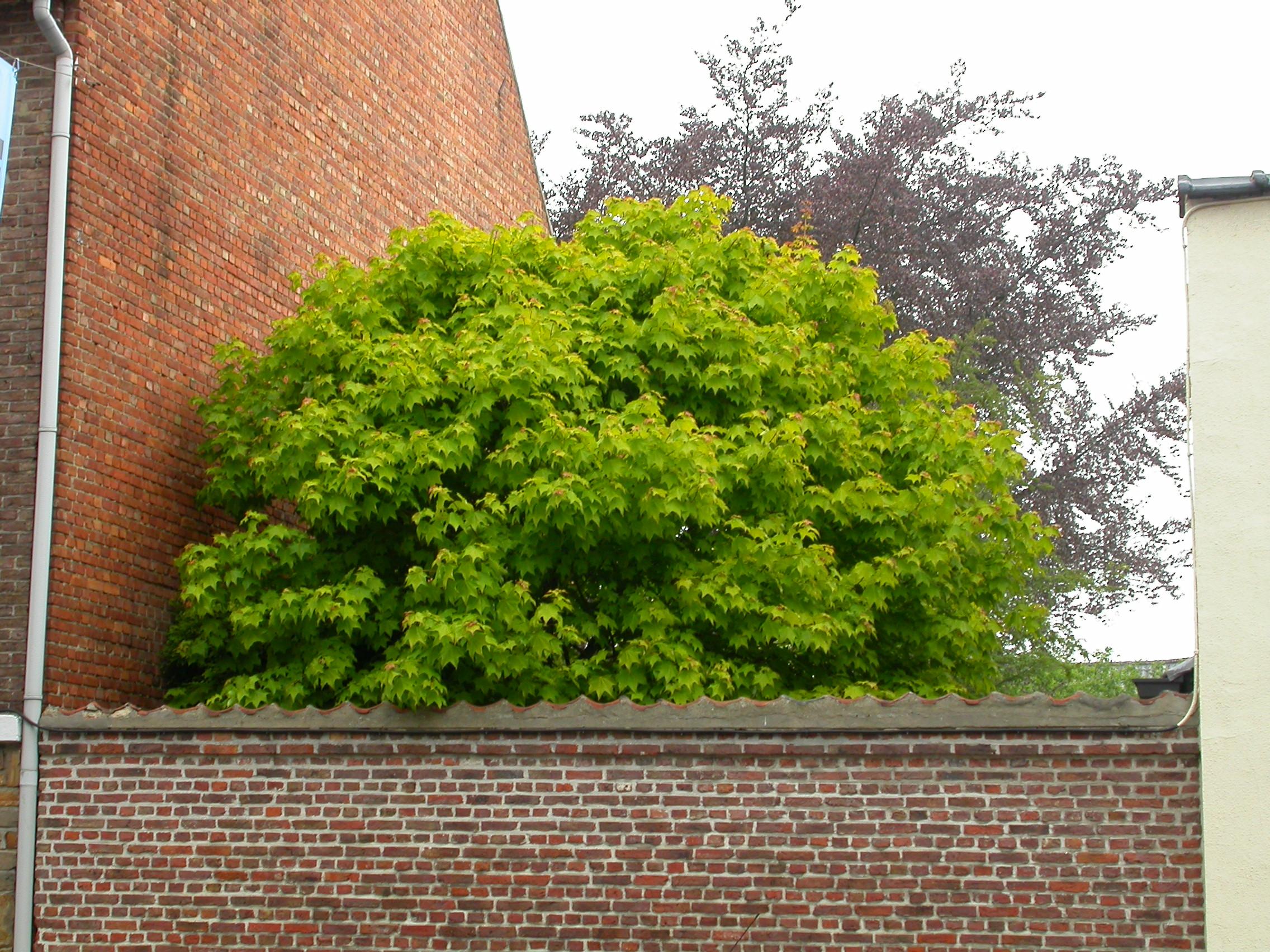 paul tree leafs green top garden wall