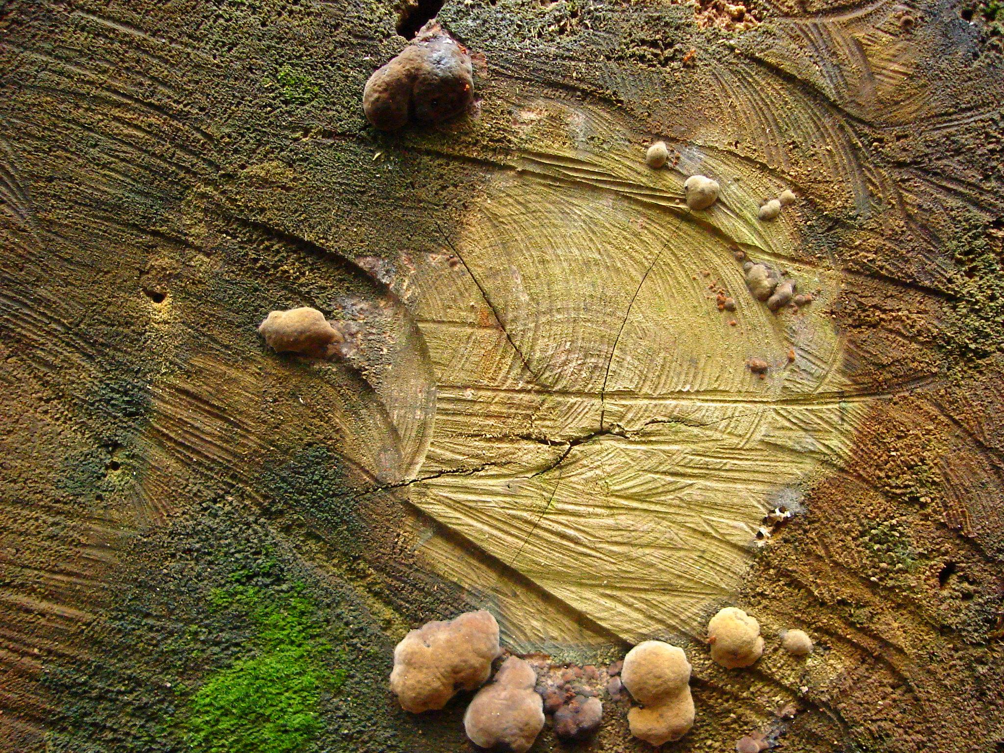 poows fungus toadstools mushrooms on tree stump