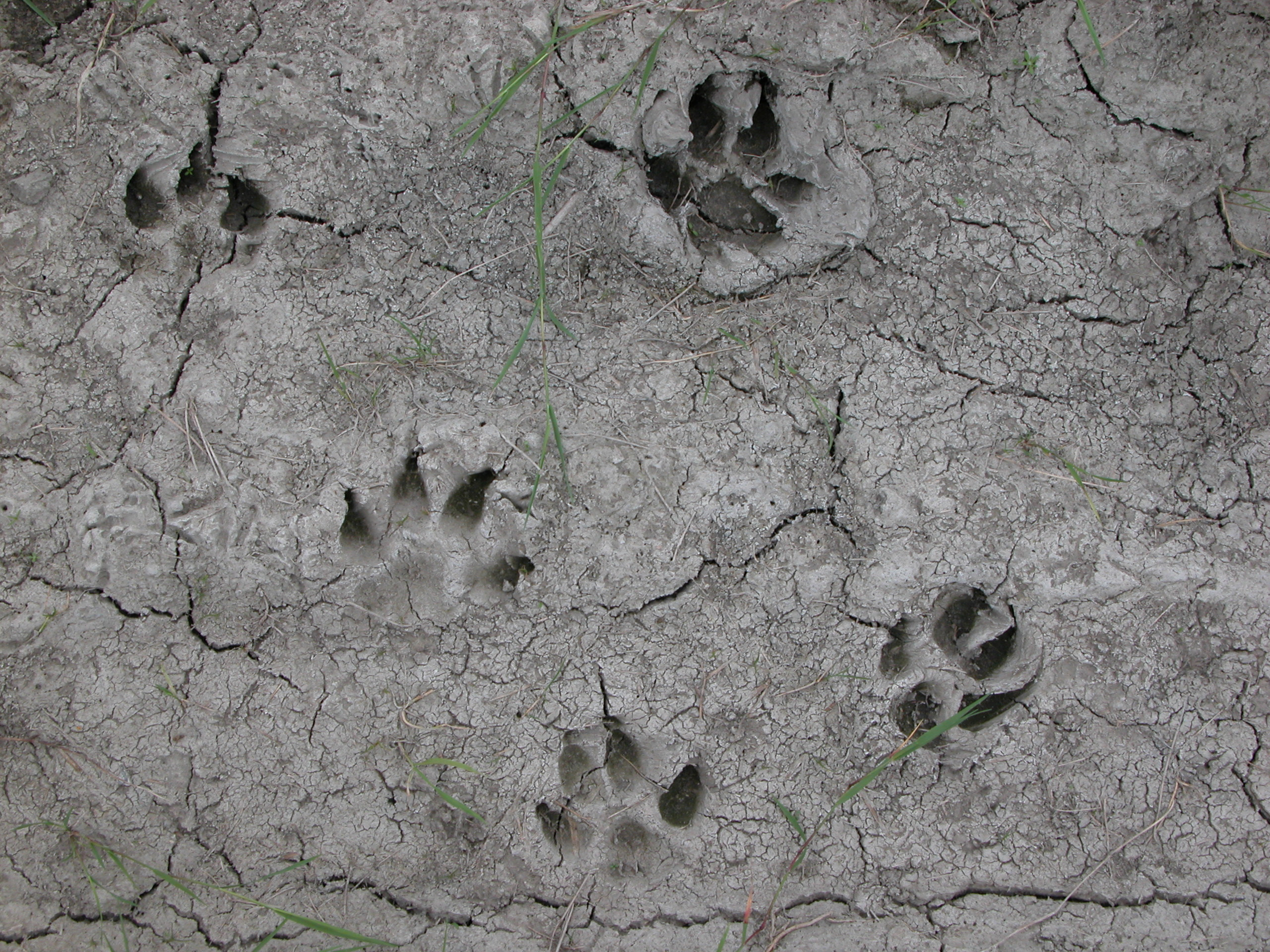 cat or dog paw prints in the mud