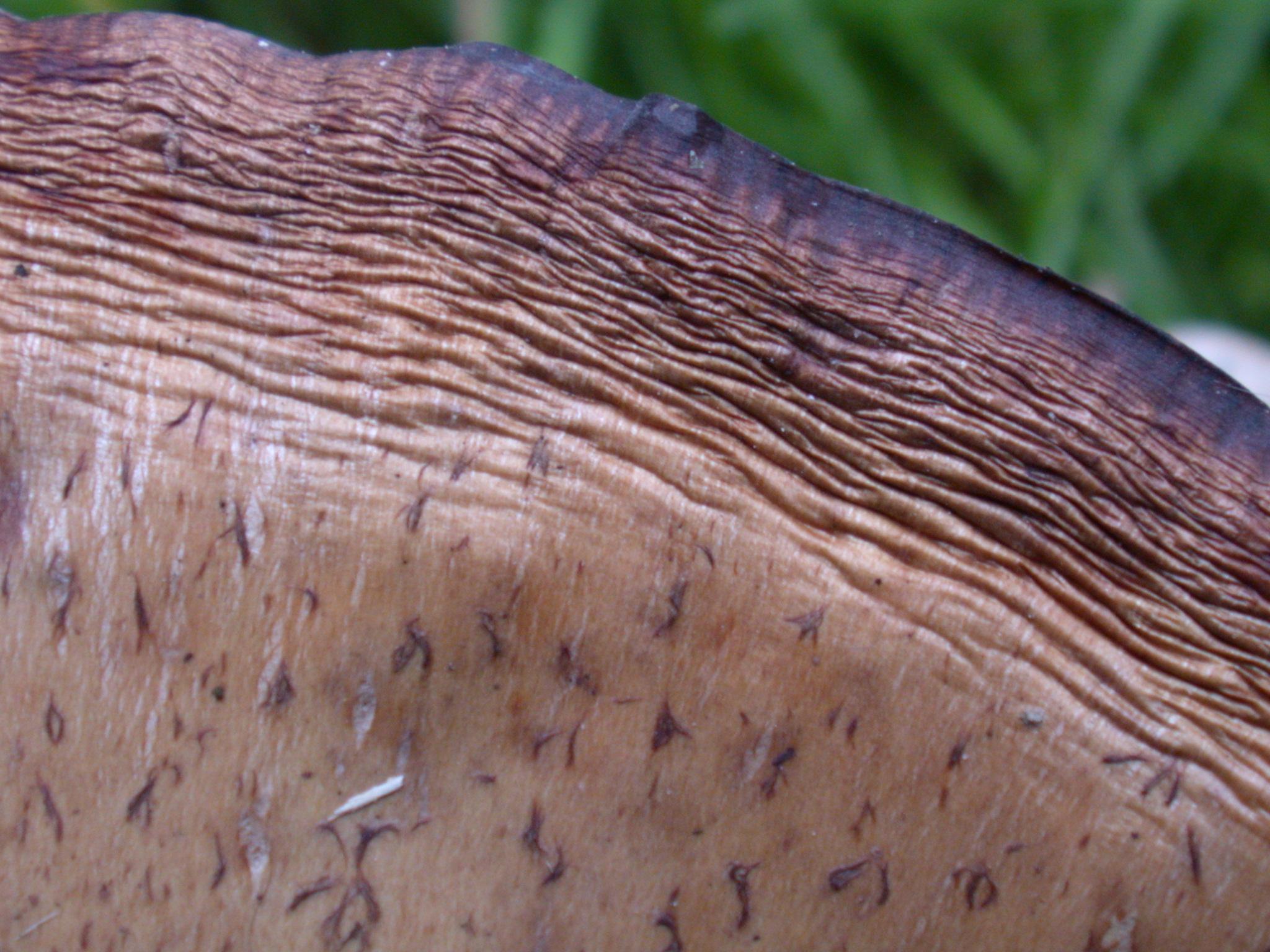 Reishi Herb Mushroom Extract
