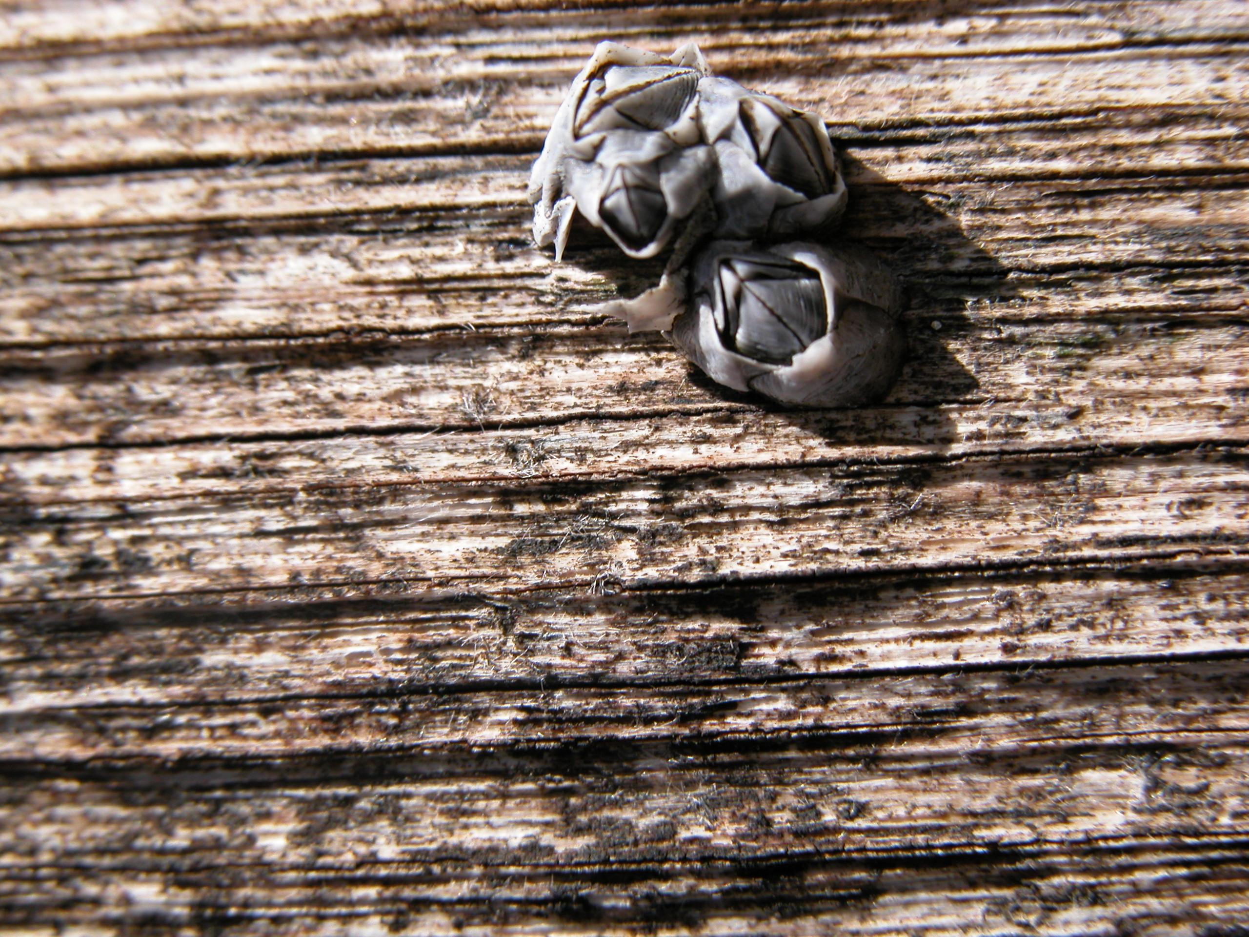 seapocks sea pocks on wood