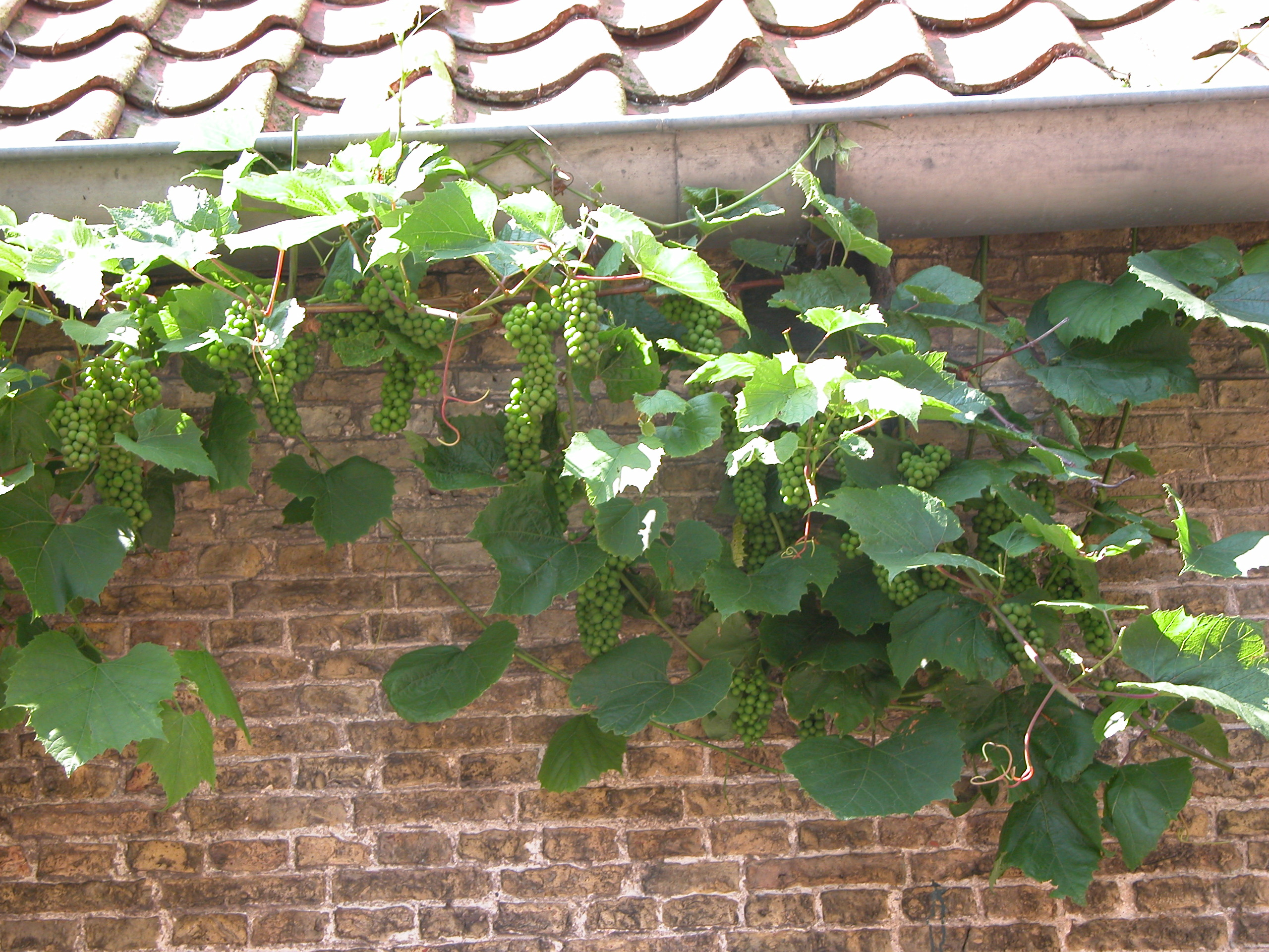 crape vine crapes plant wine to be