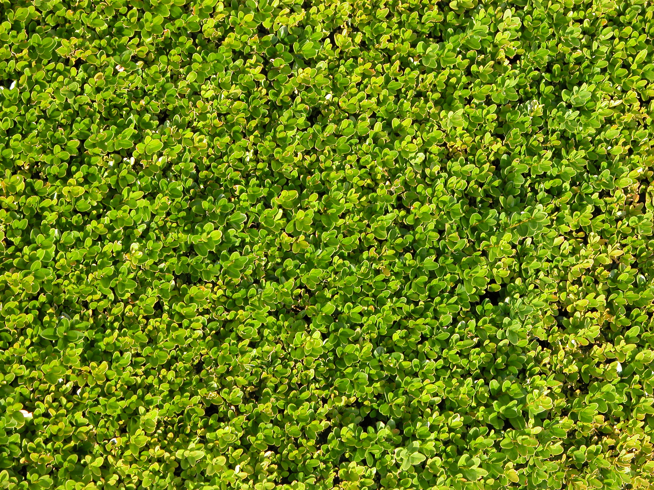hedge texture green nature leafs fine