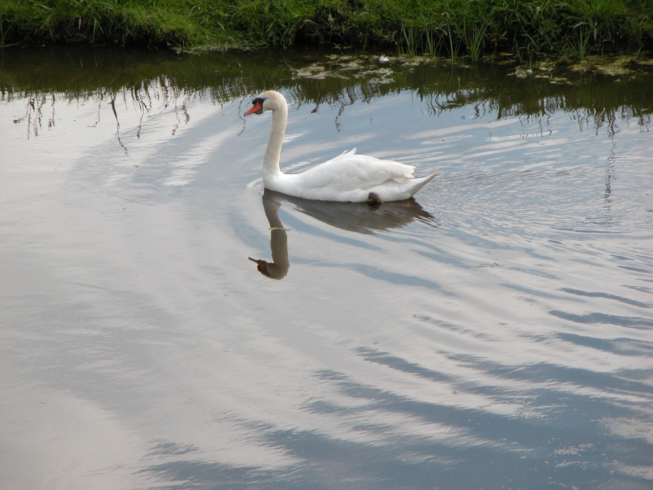swan in water ripples bird