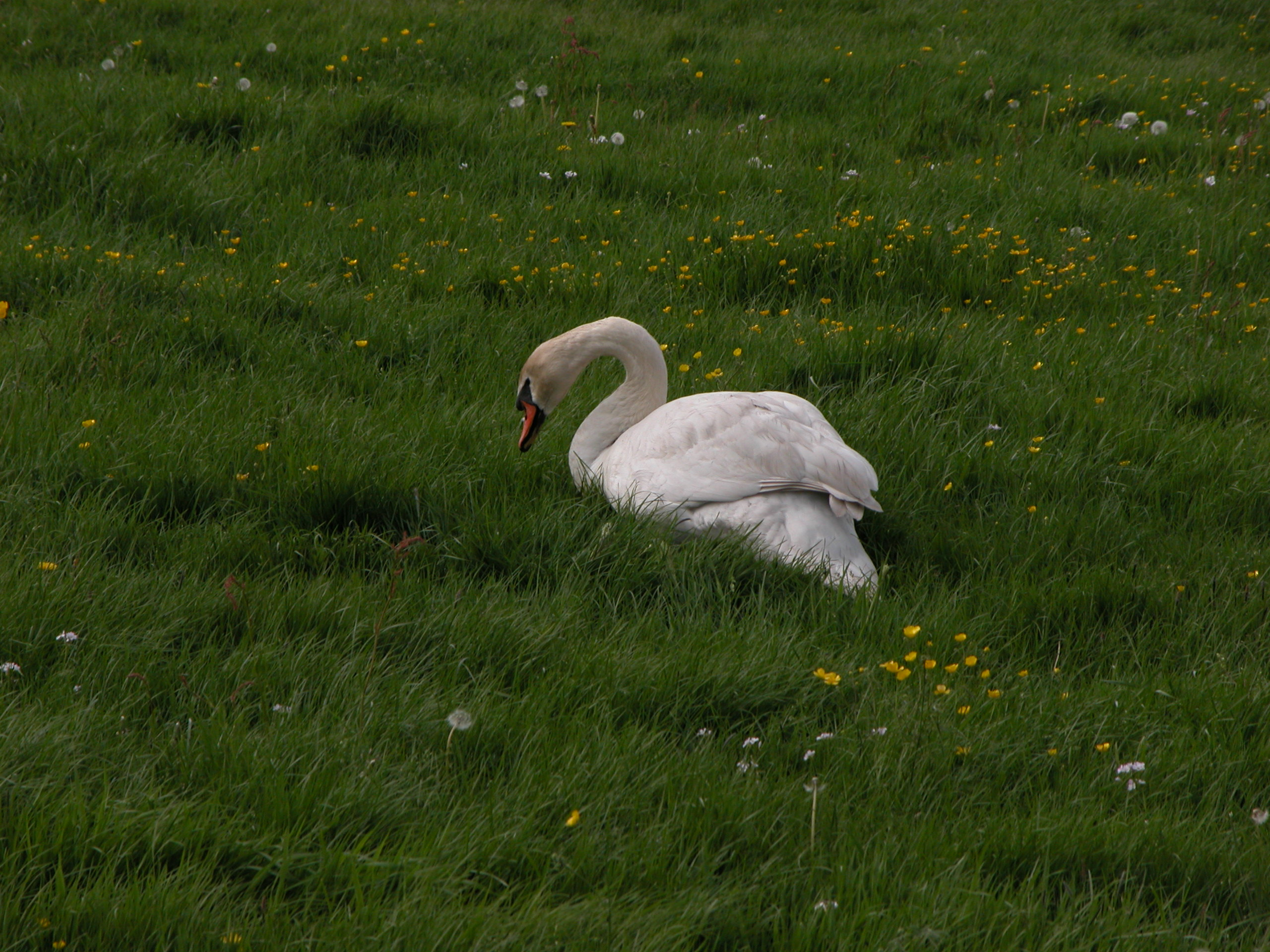 swan white feathers long neck waterfowl bird sitting in a field