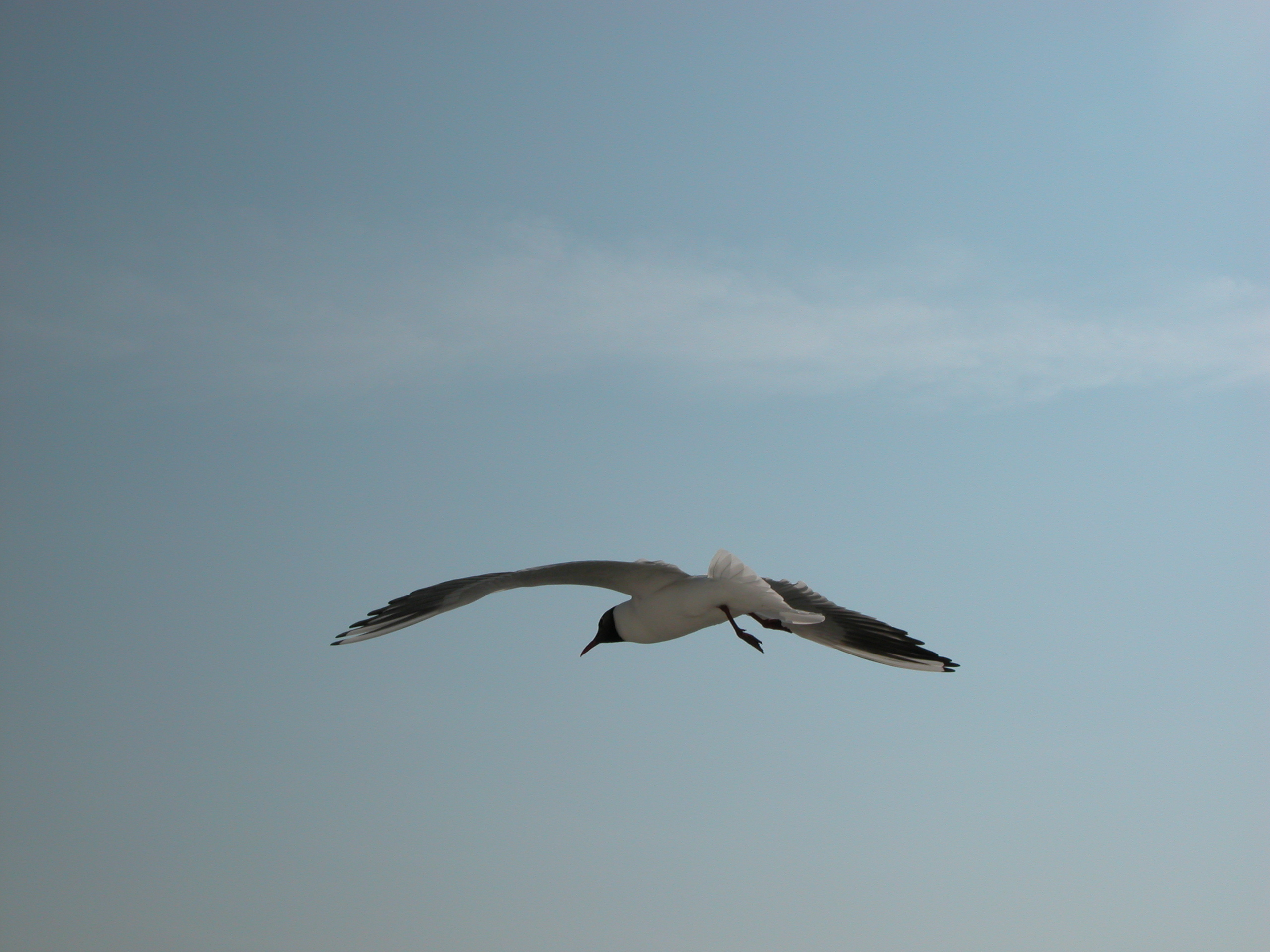 seagull gull bird flying wings wingspan
