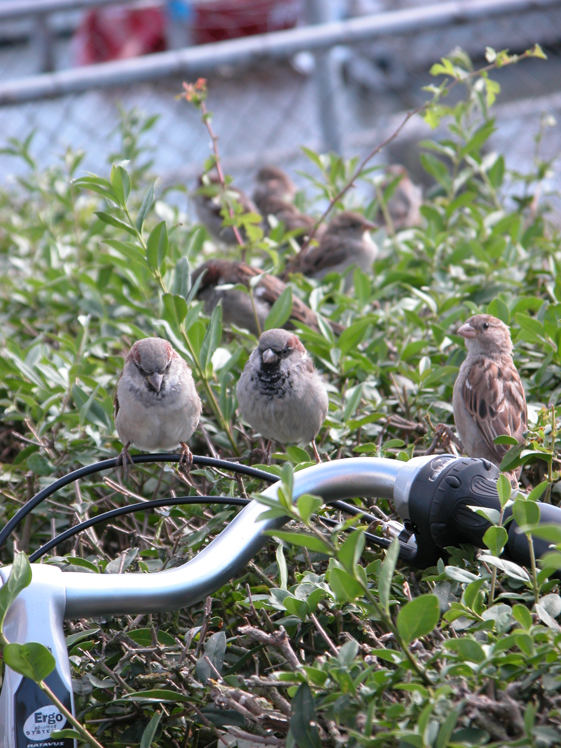 little birds in the hedge