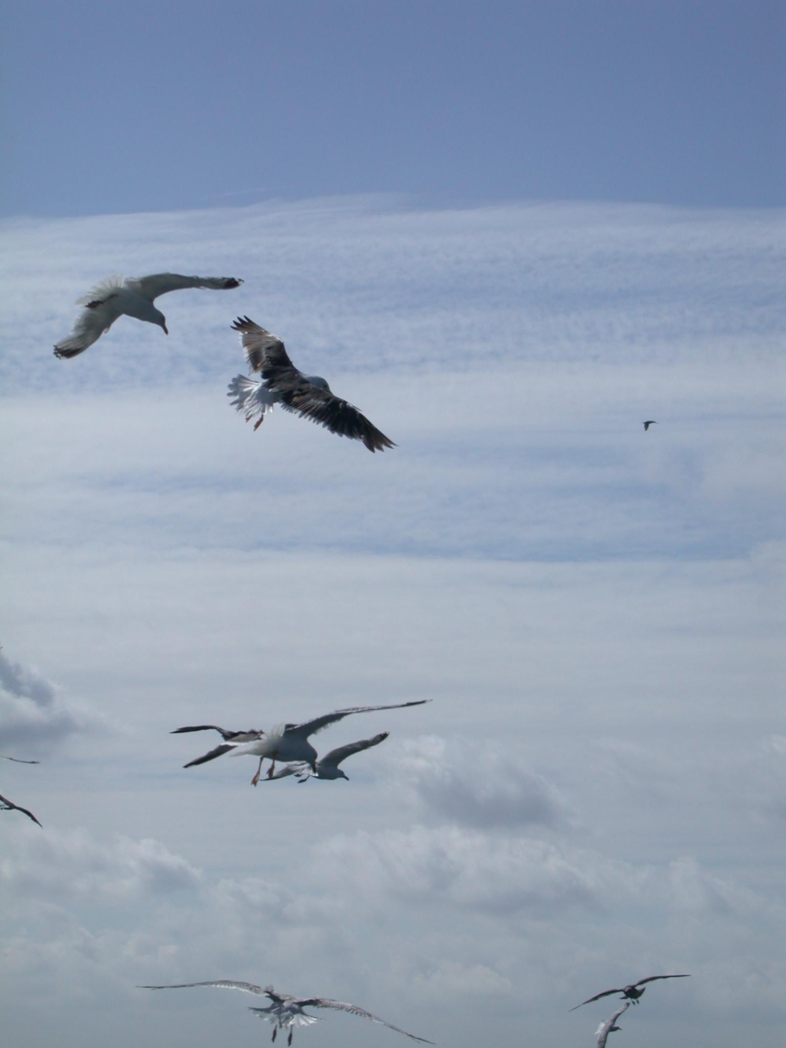 flock of gull gulls seagull seagulls flying floating birds air