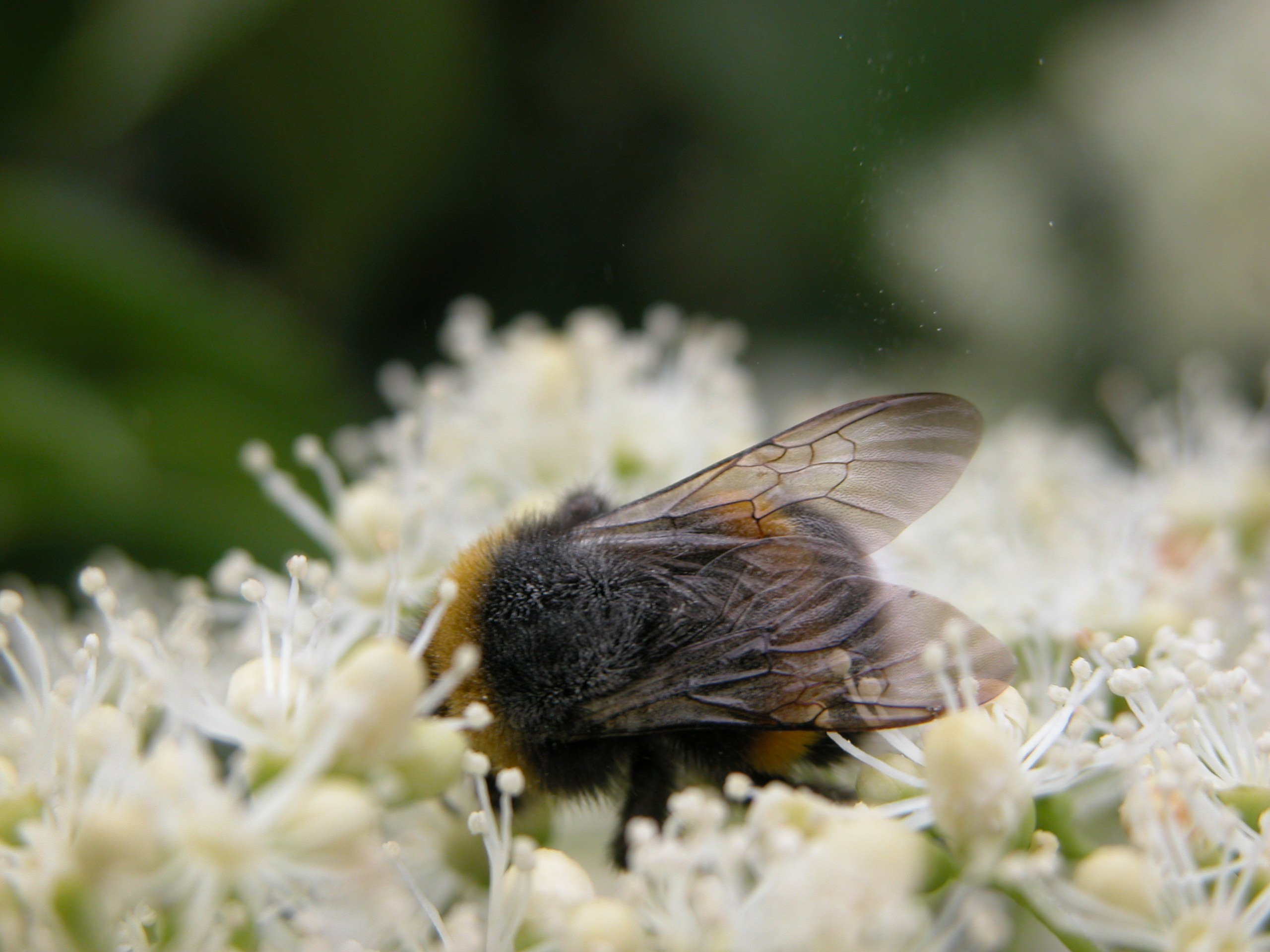bee bumble bumblebee pollen drinking from a flower covered in wings dark hairs insect