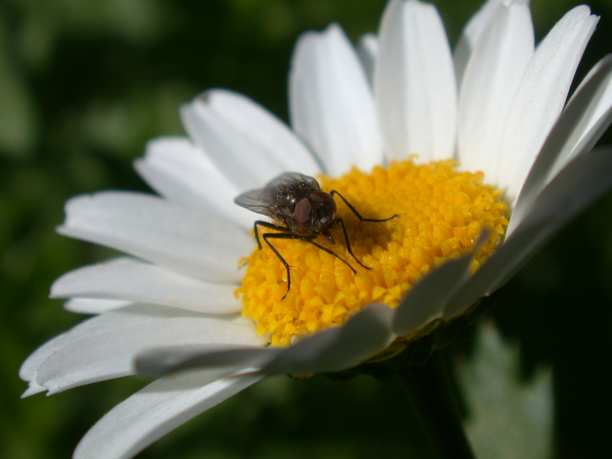 fly on a flower petals yellow horsefly black wings white hairs