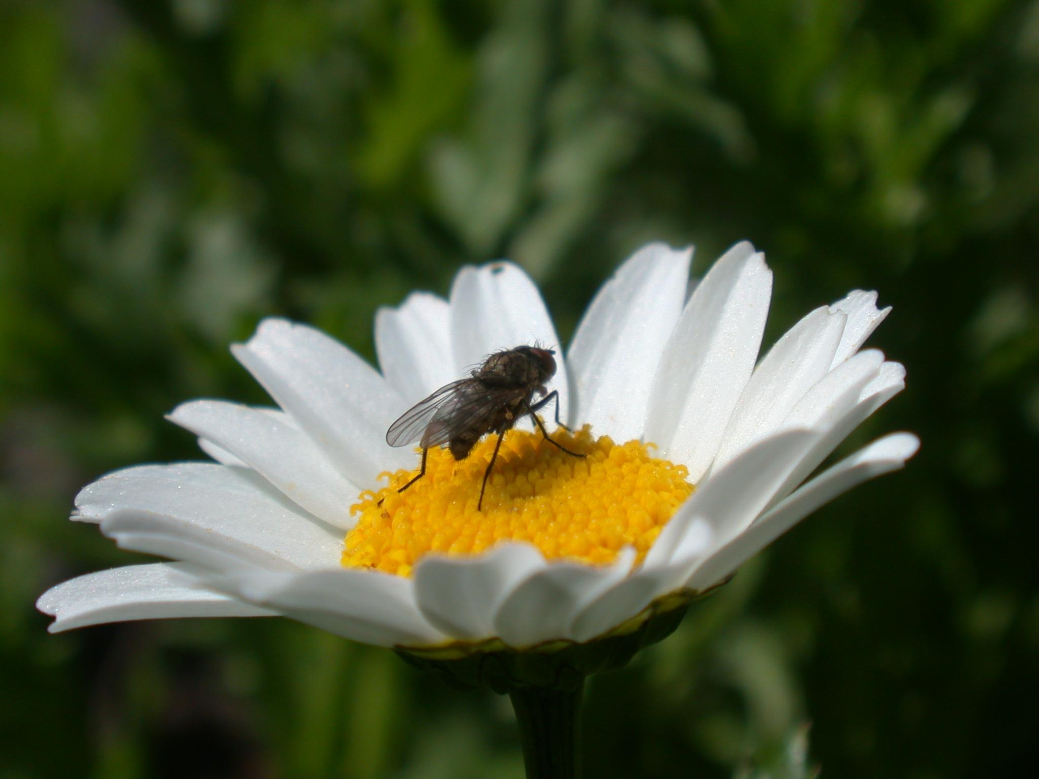 fly on flower white