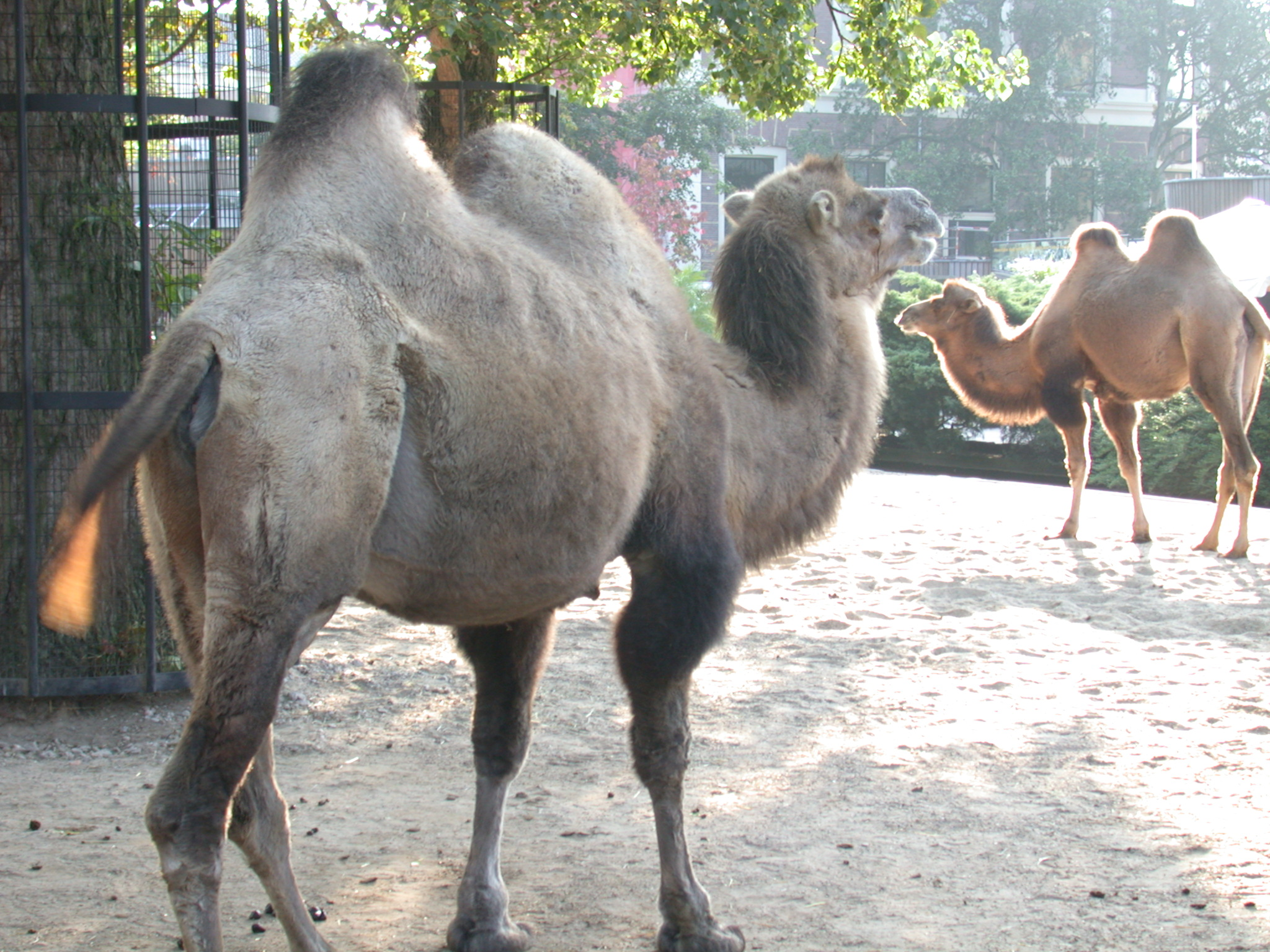 camel drommedary ship of the deset grey fur zoo animals
