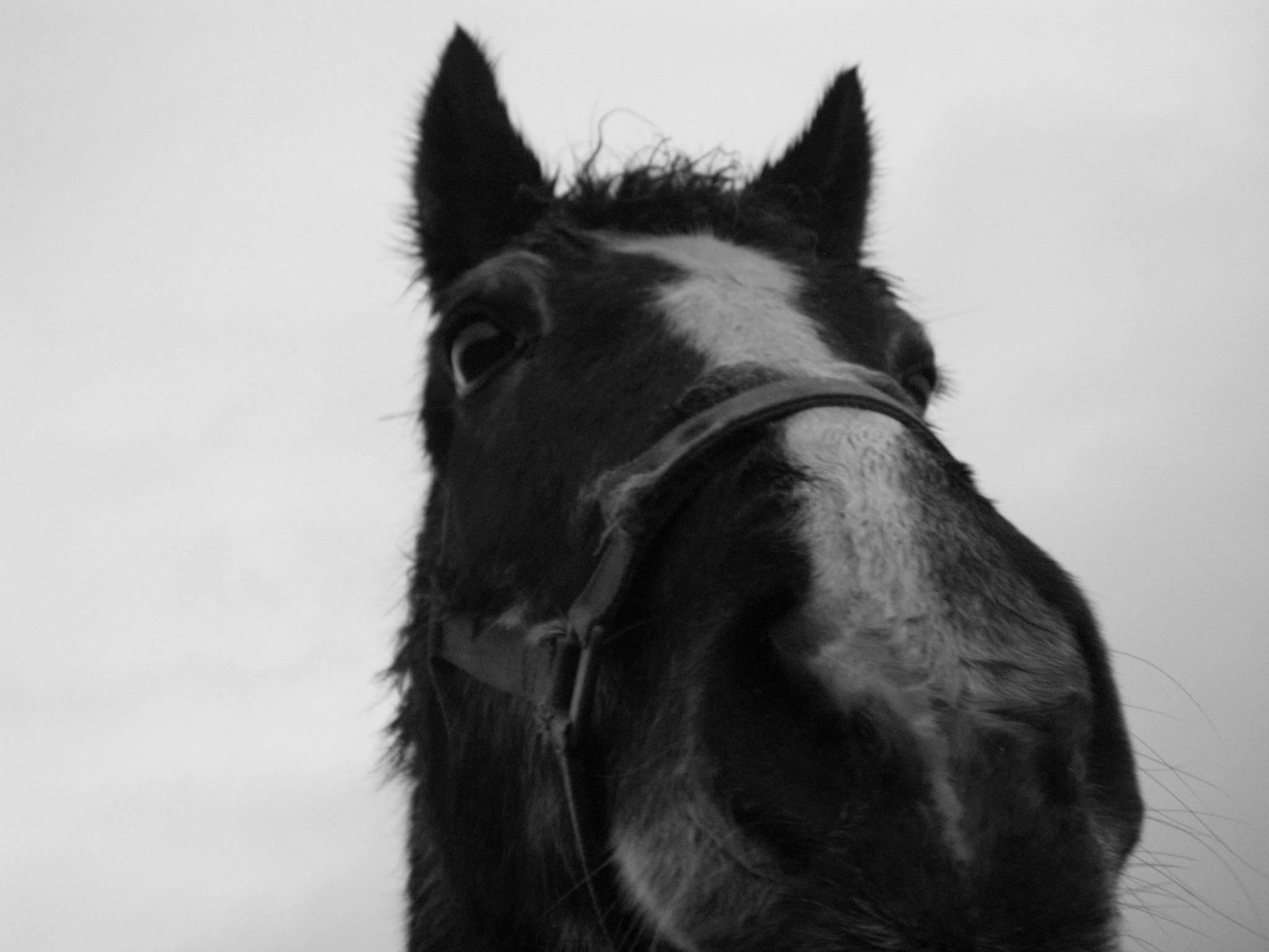 horse head black and white nose hairs