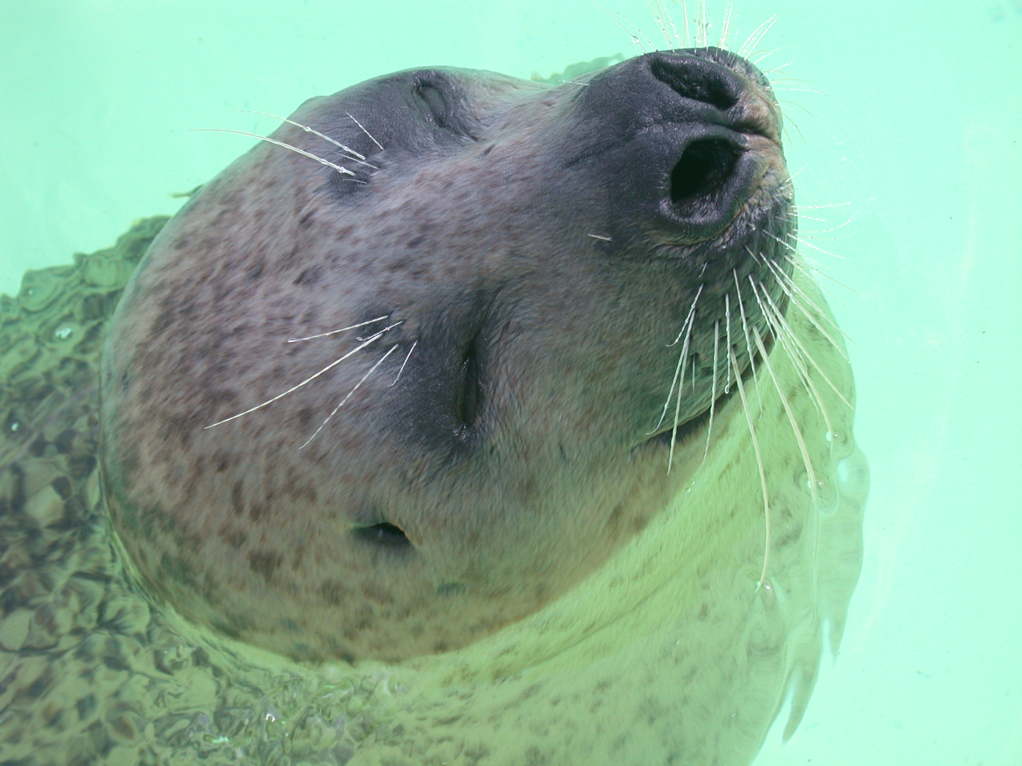 seal in water head mamal