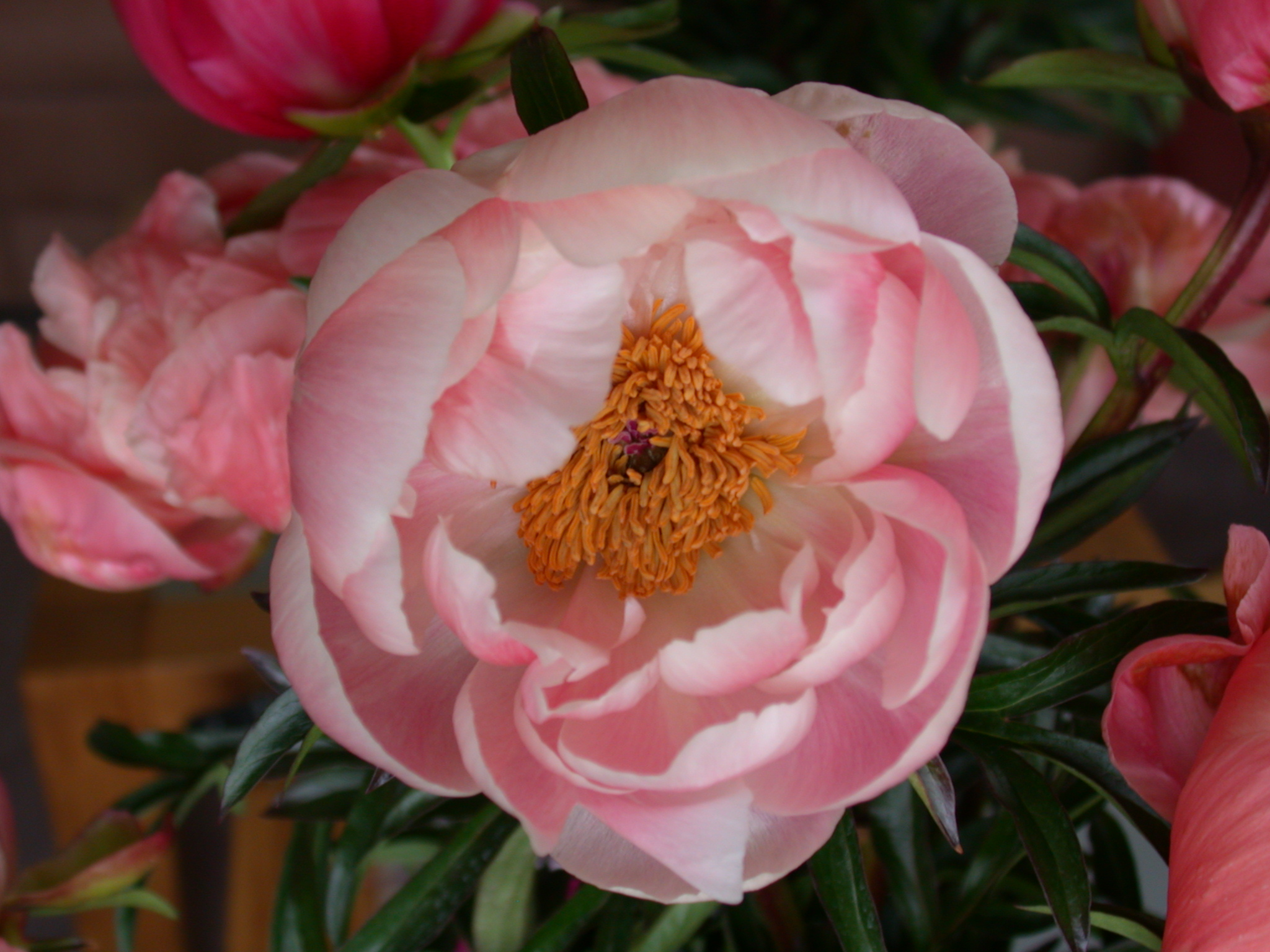 flower romance romantic pink petal lovely nature paeonia images