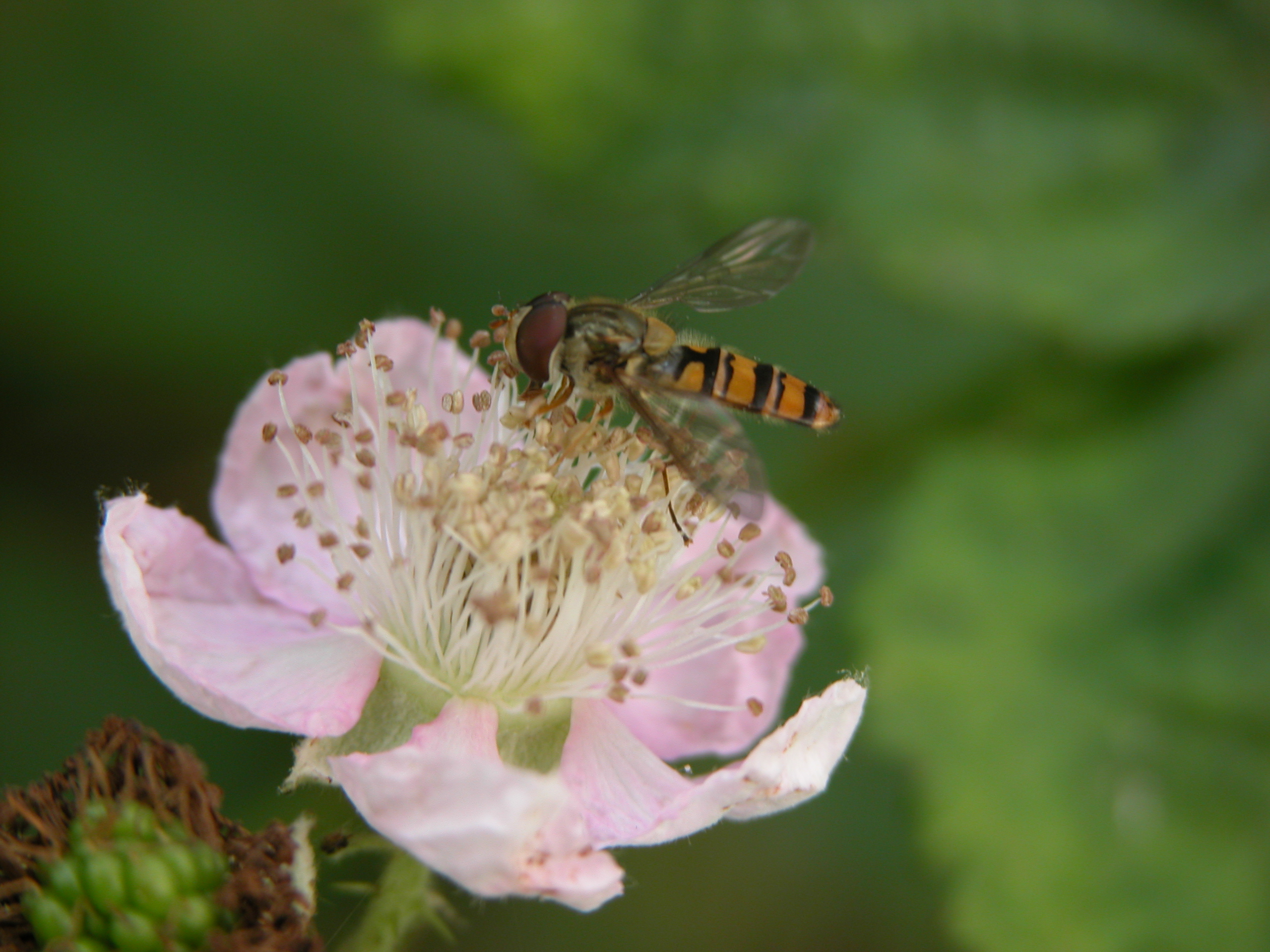 flower pink petals wasp insect nectar pollen fly
