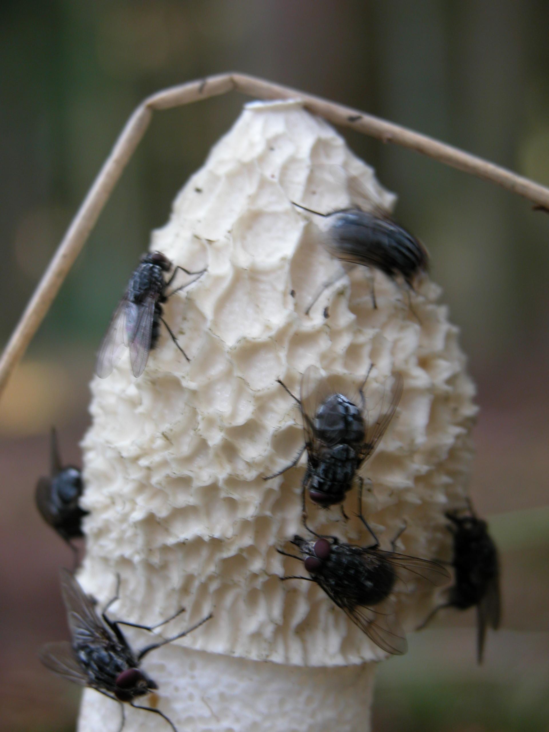 flies on mushroom toadstool