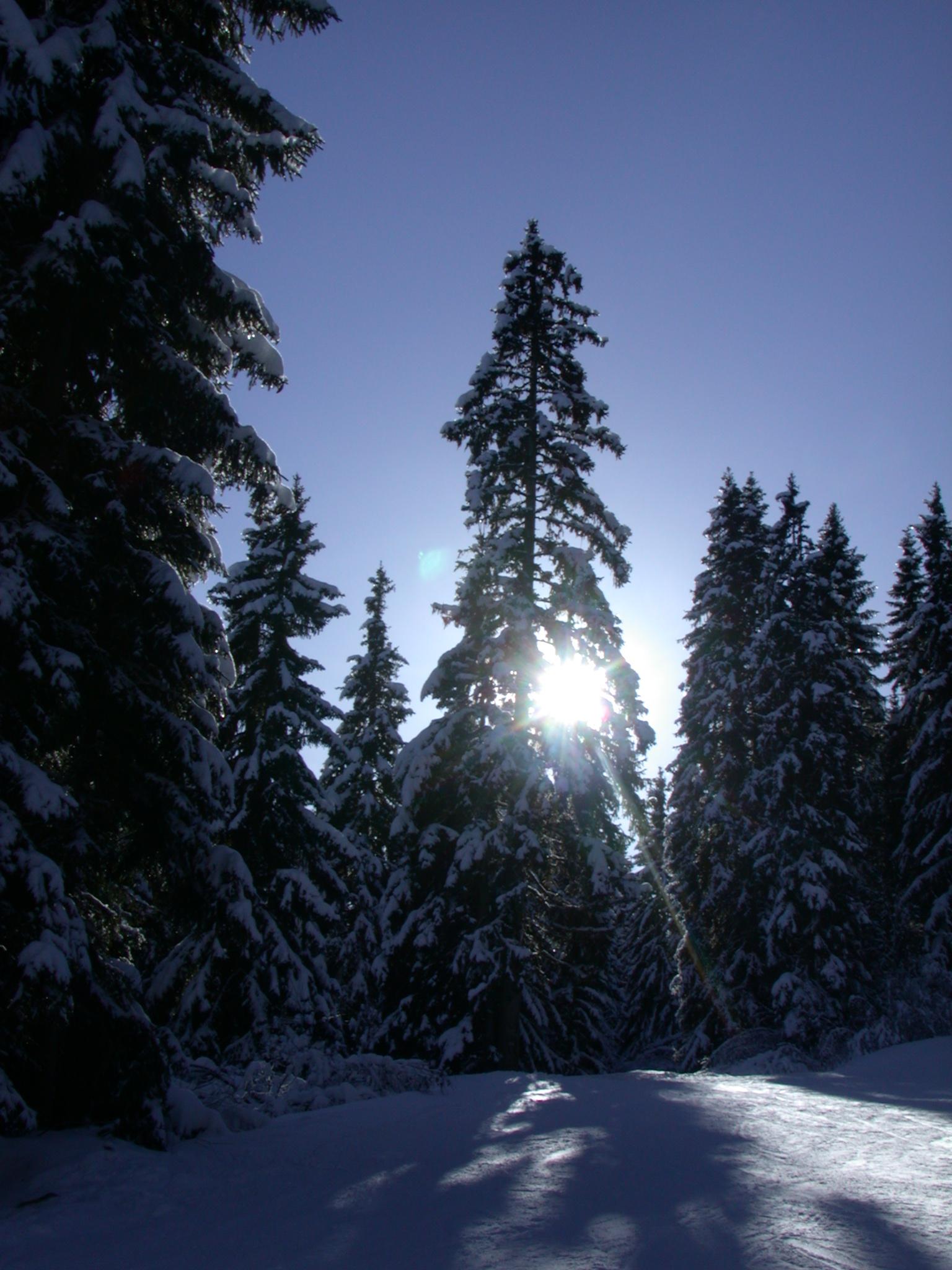 pines snow sky cold winter sun