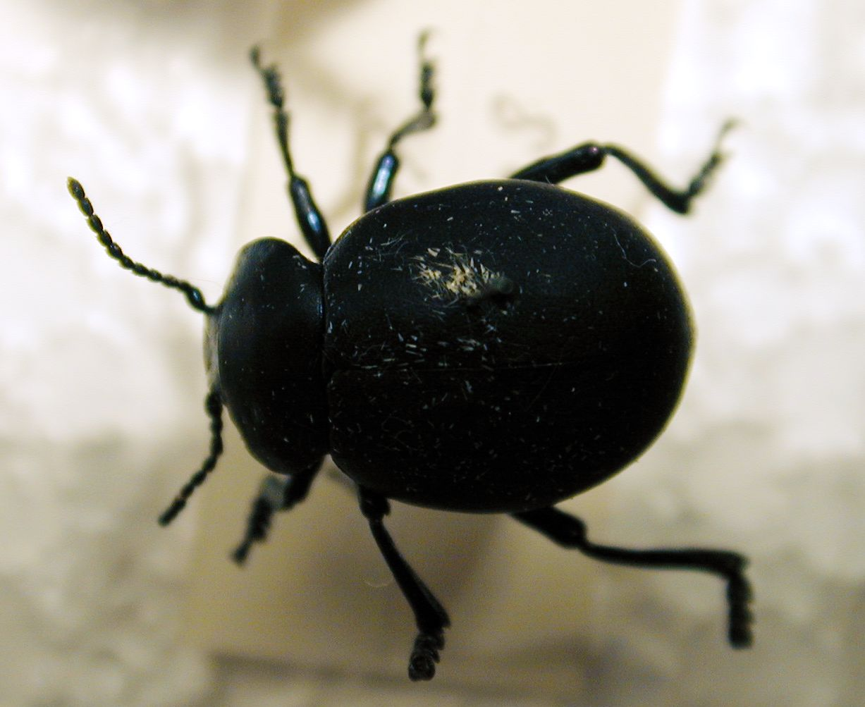 beatle bug insect collection black shield scratched top
