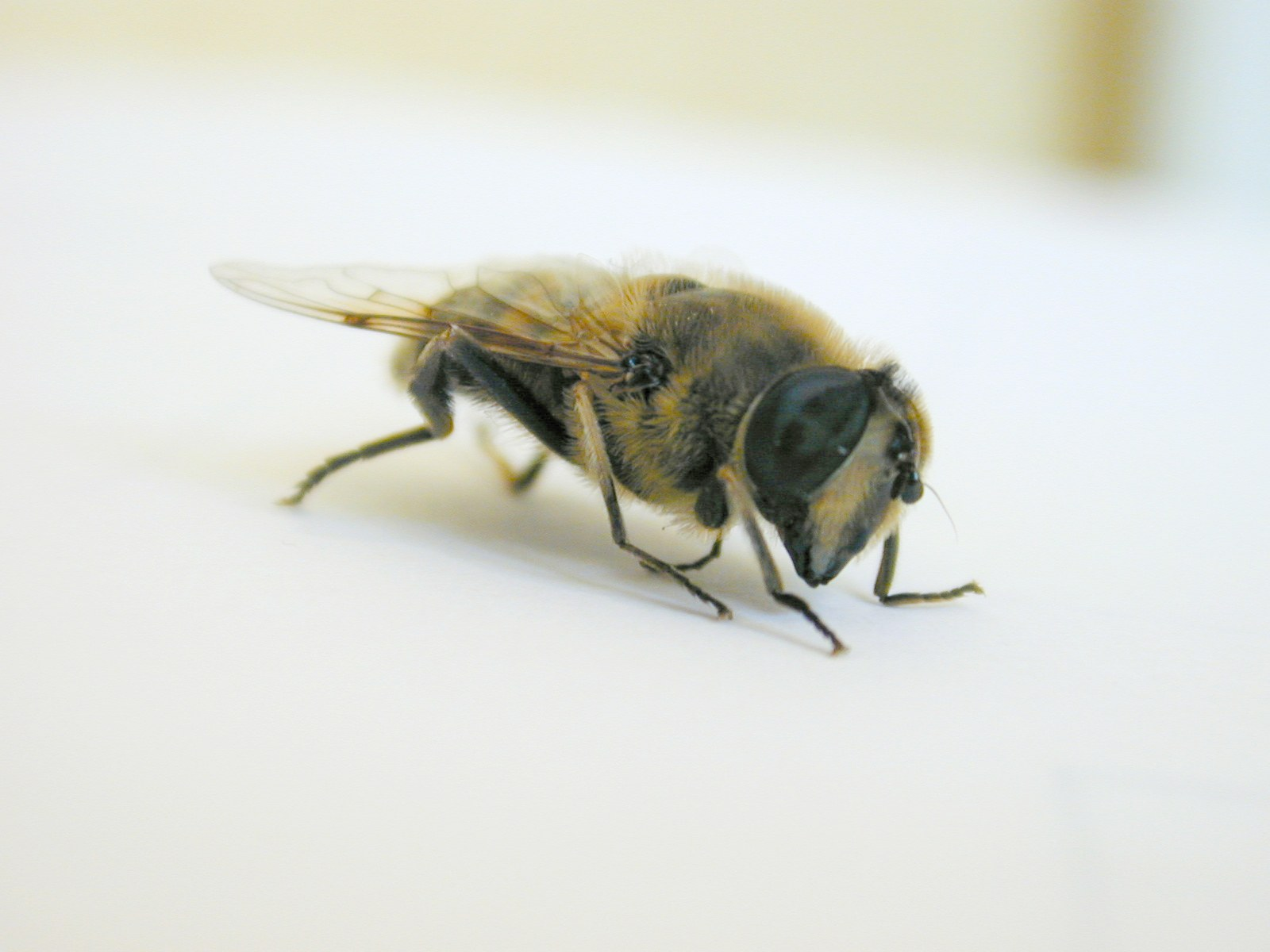 front side bee insect white wing yellow orange black sting vein hair hairy eye honey fly leg legs royalty