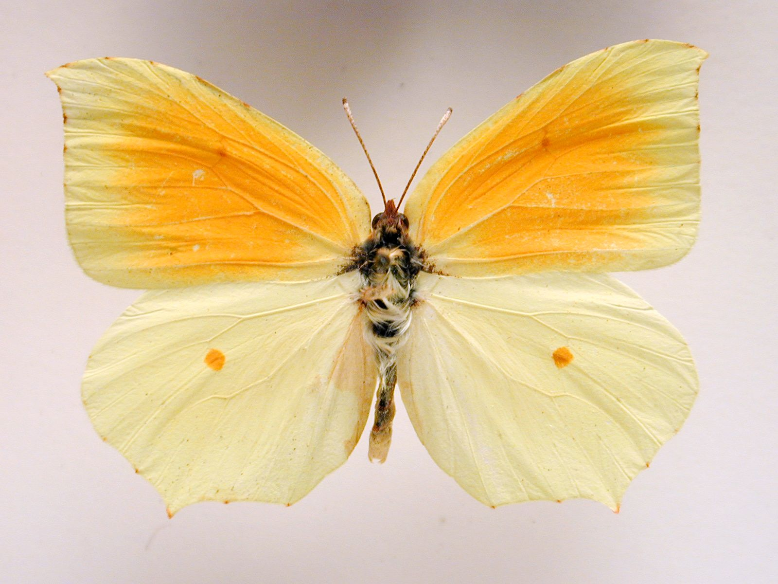 butterfly insect top wing wings vein hair hairy orange beige mirrorring mirrorred mirror white small top hires